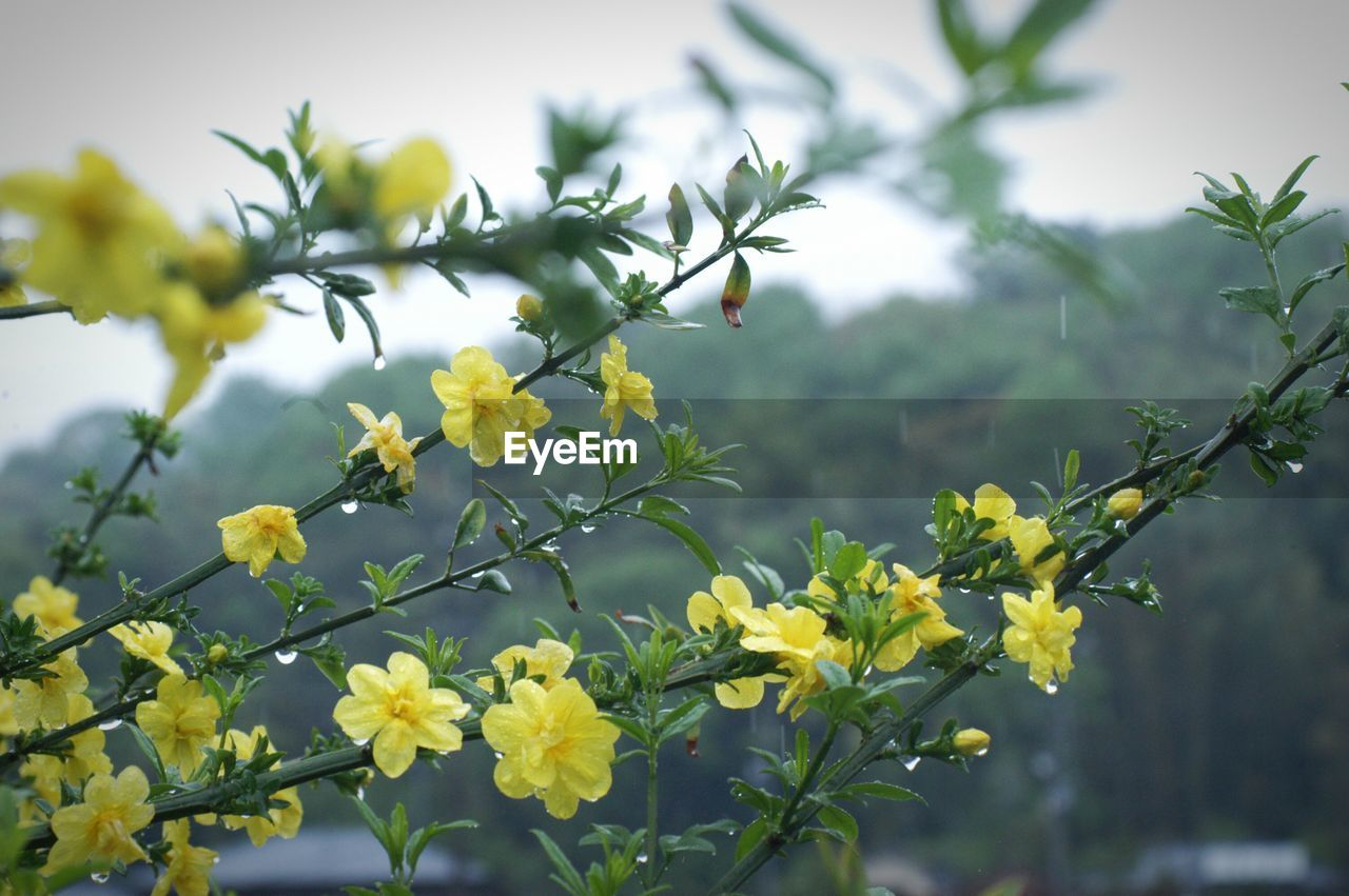 flower, growth, nature, plant, yellow, fragility, beauty in nature, freshness, no people, outdoors, day, blooming, tree, close-up, sky