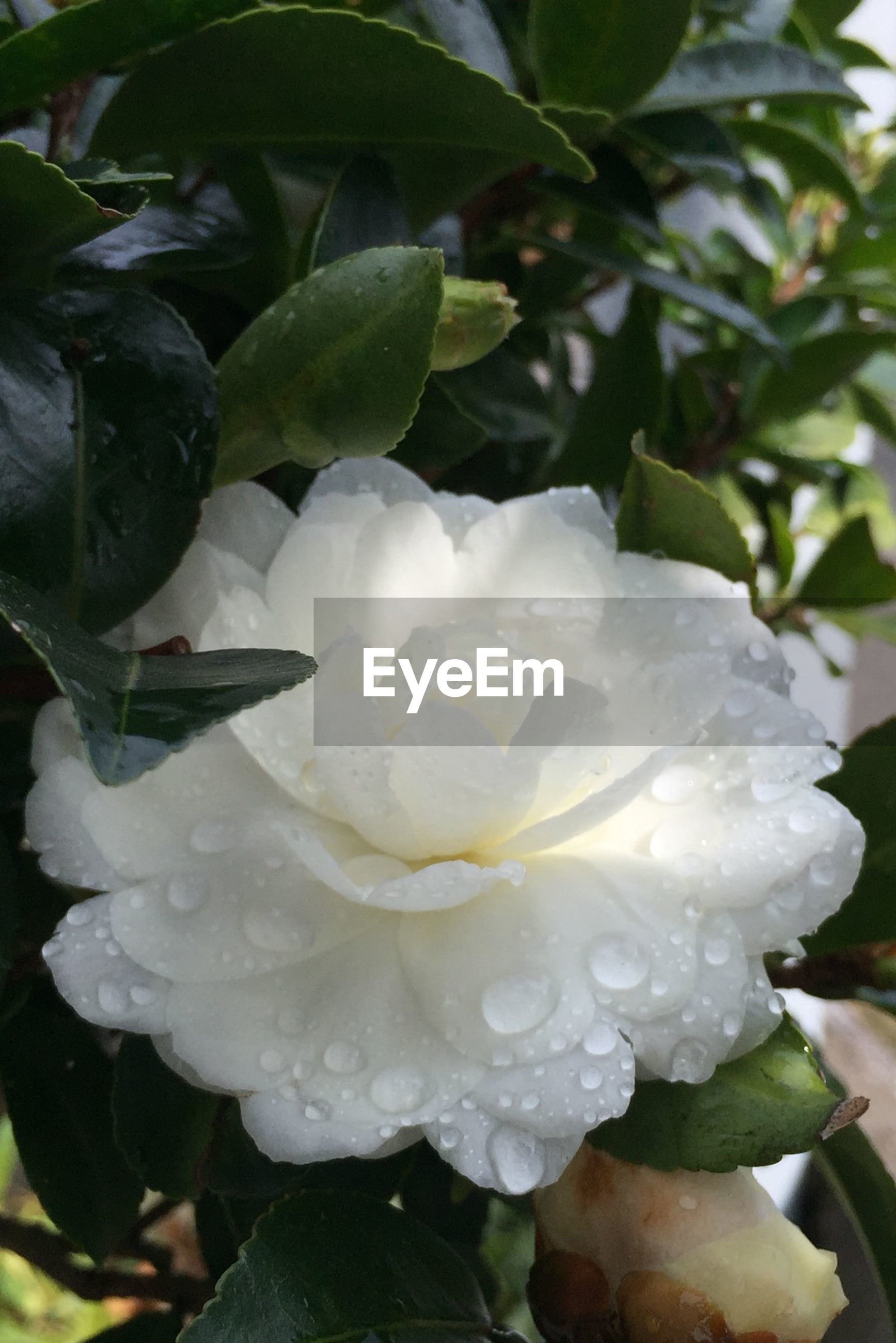 Close-up of wet white flower growing in lawn