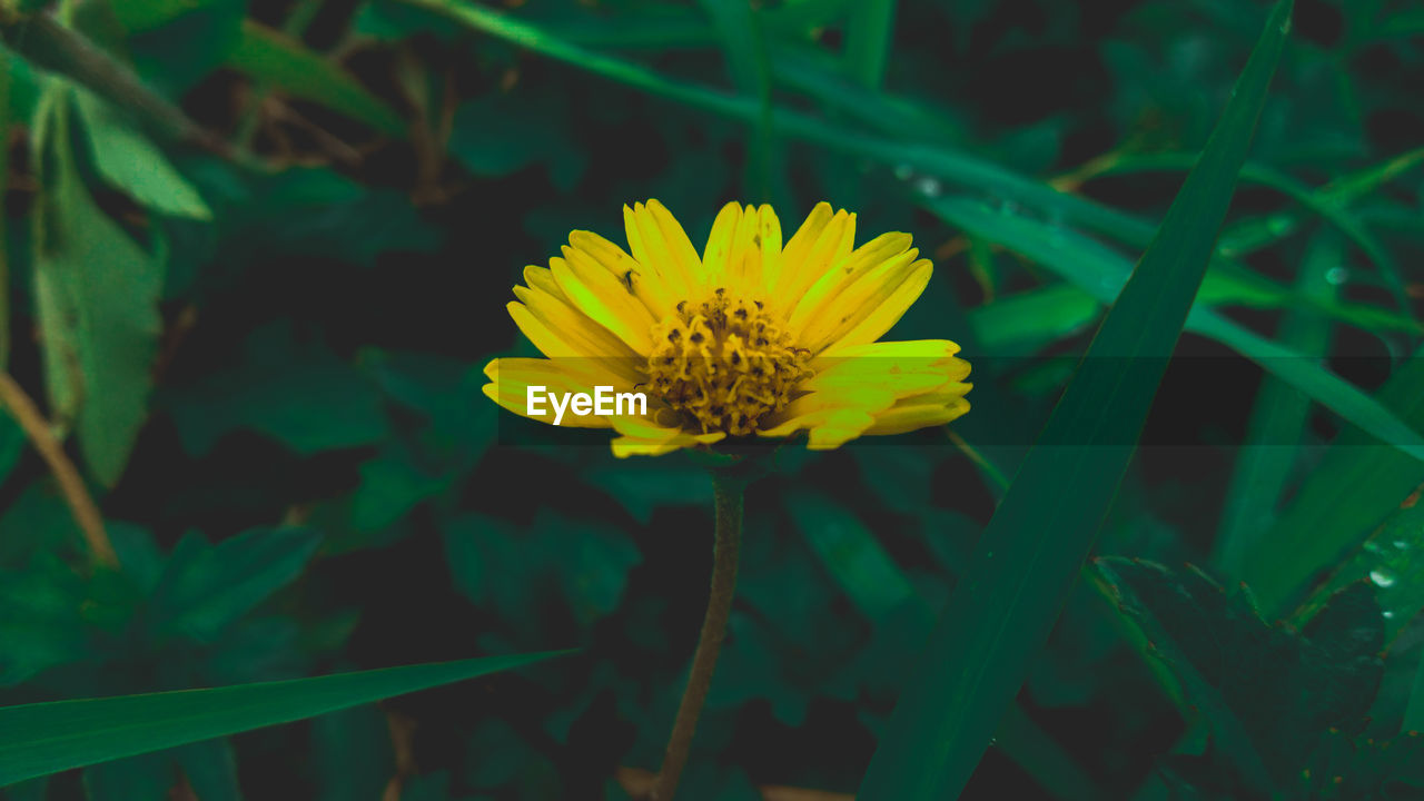 flowering plant, flower, plant, yellow, vulnerability, fragility, flower head, beauty in nature, freshness, growth, petal, inflorescence, close-up, nature, focus on foreground, pollen, land, green color, no people, gazania, blade of grass