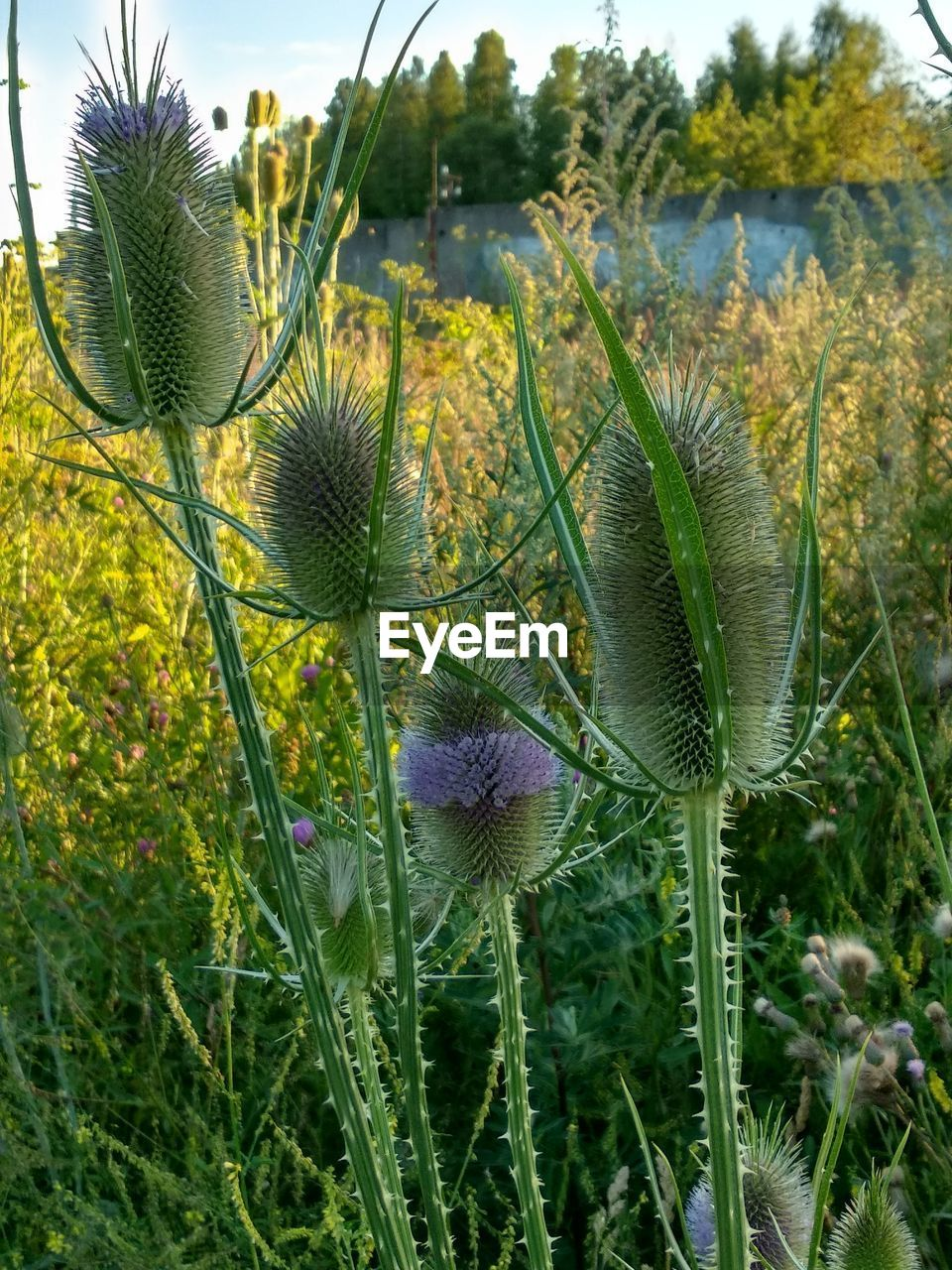 plant, growth, flower, beauty in nature, flowering plant, nature, field, green color, land, no people, freshness, close-up, day, vulnerability, fragility, thistle, inflorescence, flower head, focus on foreground, plant stem, outdoors, purple, spiky