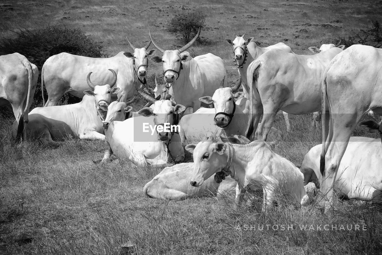 mammal, large group of animals, animal themes, domestic animals, field, livestock, cow, grass, outdoors, nature, no people, day