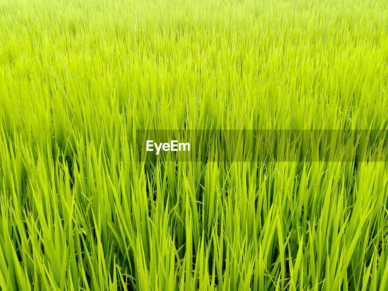 green color, plant, agriculture, field, rural scene, growth, landscape, crop, grass, cereal plant, backgrounds, full frame, land, farm, beauty in nature, nature, no people, day, freshness, rice - cereal plant, outdoors