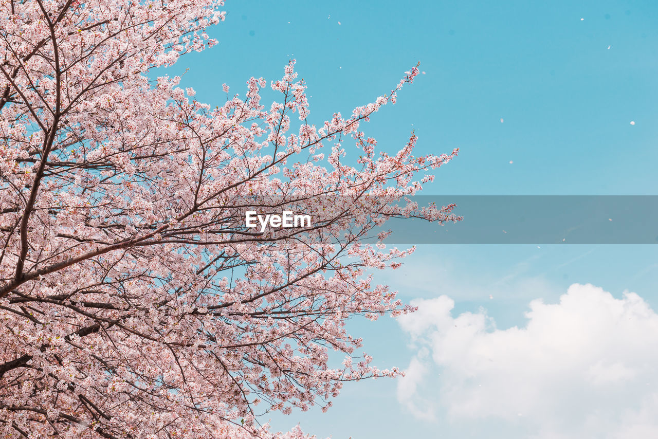 tree, sky, plant, branch, beauty in nature, flowering plant, flower, nature, low angle view, growth, cloud - sky, day, springtime, no people, pink color, blossom, cherry blossom, fragility, tranquility, blue, outdoors, cherry tree