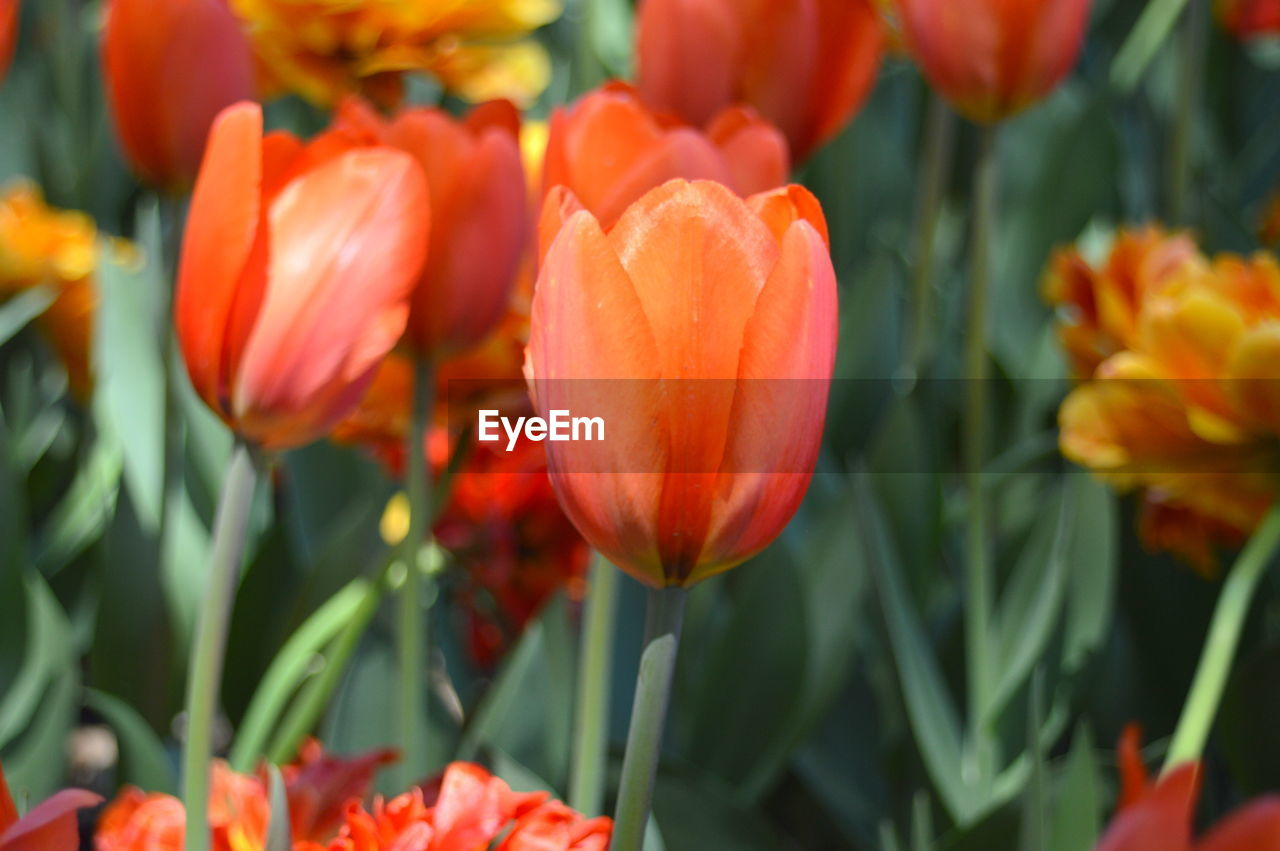 flowering plant, flower, freshness, beauty in nature, plant, vulnerability, fragility, petal, growth, close-up, tulip, flower head, inflorescence, orange color, red, no people, nature, focus on foreground, day, plant stem, outdoors