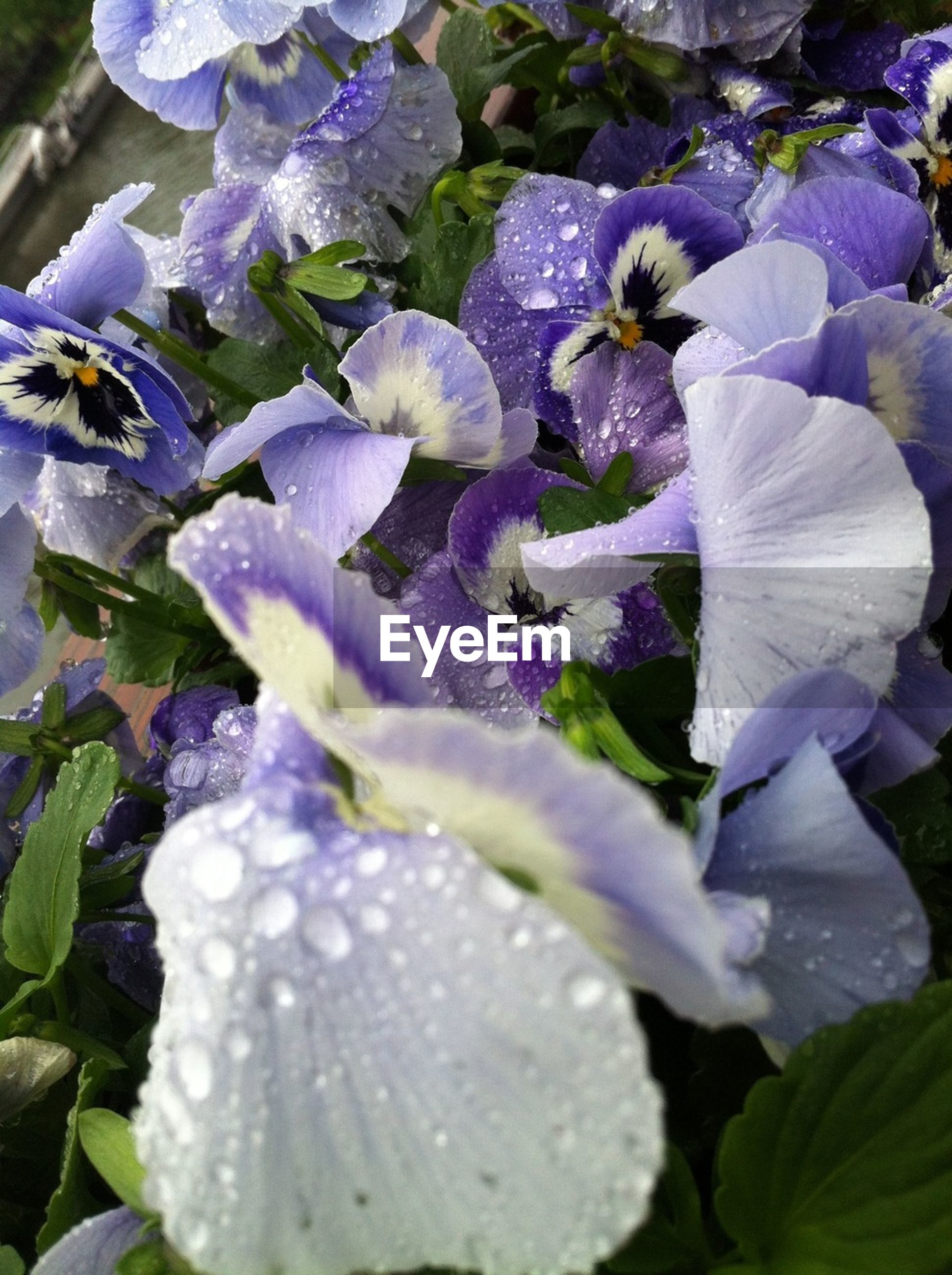 flower, freshness, fragility, petal, growth, beauty in nature, drop, purple, close-up, flower head, nature, plant, wet, leaf, water, blooming, focus on foreground, season, day, dew