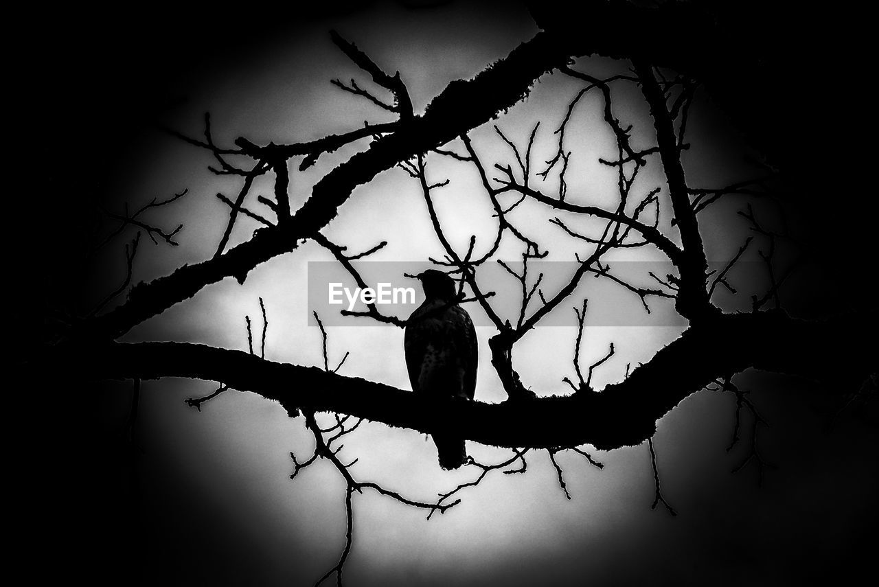 silhouette, branch, animal themes, no people, perching, bare tree, one animal, nature, outdoors, tree, bird, animals in the wild, day, sky