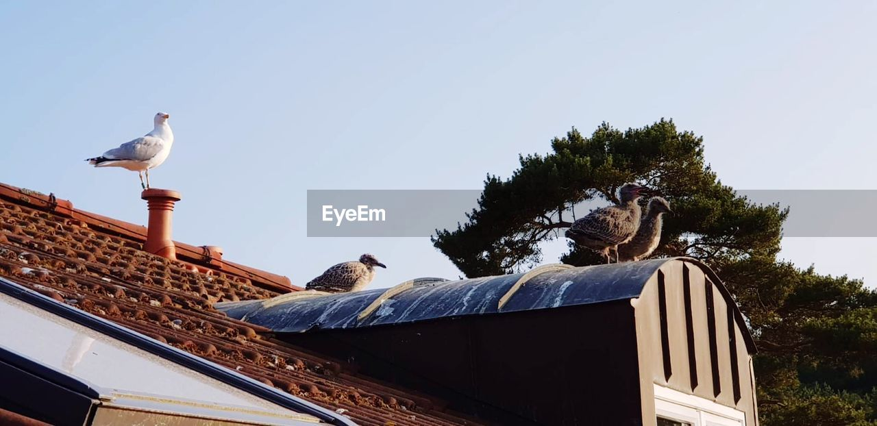 animal themes, animal, vertebrate, sky, bird, animal wildlife, animals in the wild, clear sky, roof, day, perching, architecture, group of animals, nature, low angle view, built structure, building exterior, no people, tree, outdoors, seagull, roof tile