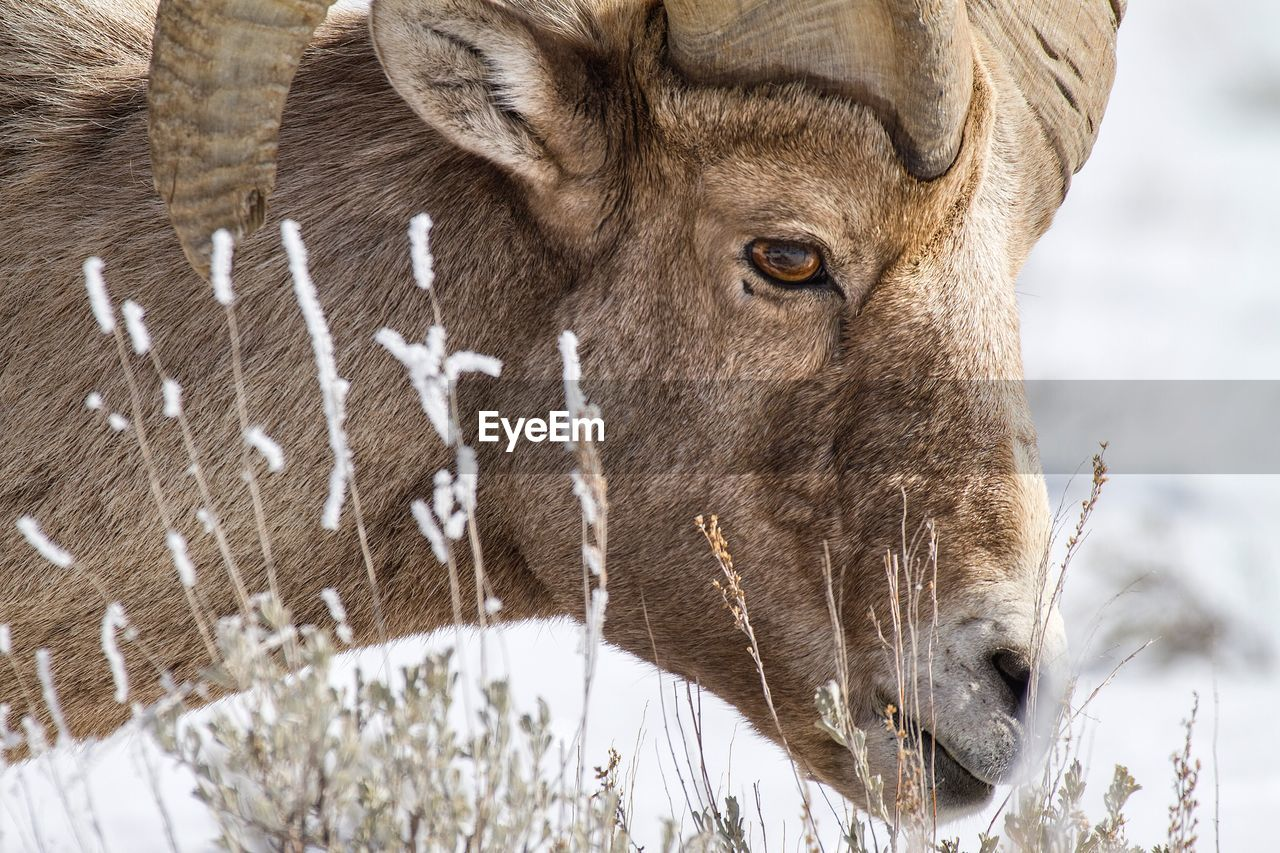 Side View Of Bighorn Sheep