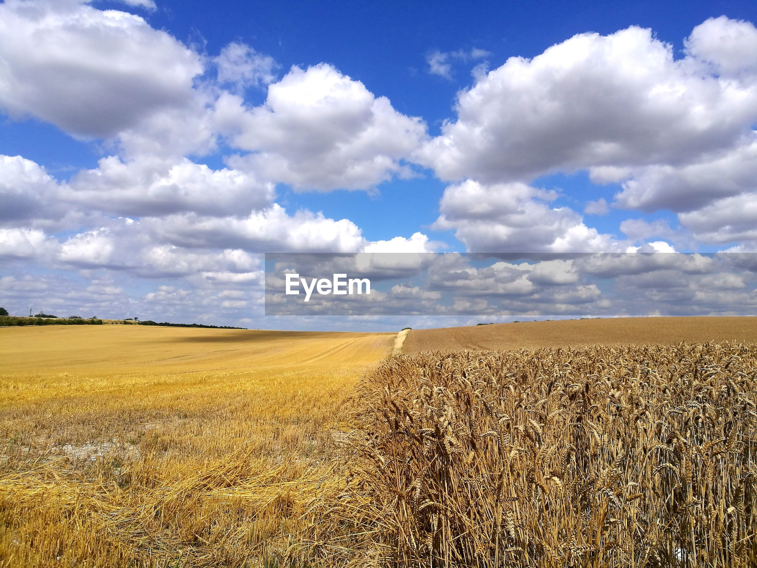 Crop fields on sunny day with blue sky and clouds- east anglia uk england