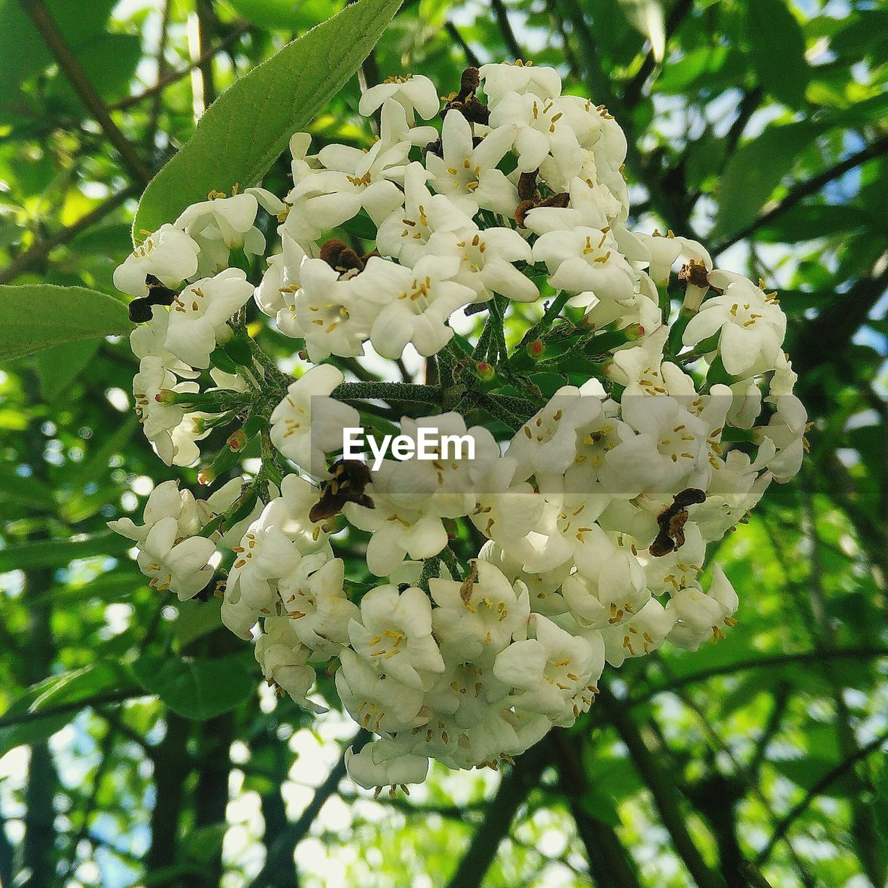 flower, white color, fragility, blossom, nature, growth, petal, tree, botany, beauty in nature, freshness, apple blossom, day, close-up, springtime, branch, no people, flower head, focus on foreground, outdoors, green color, blooming, animal themes