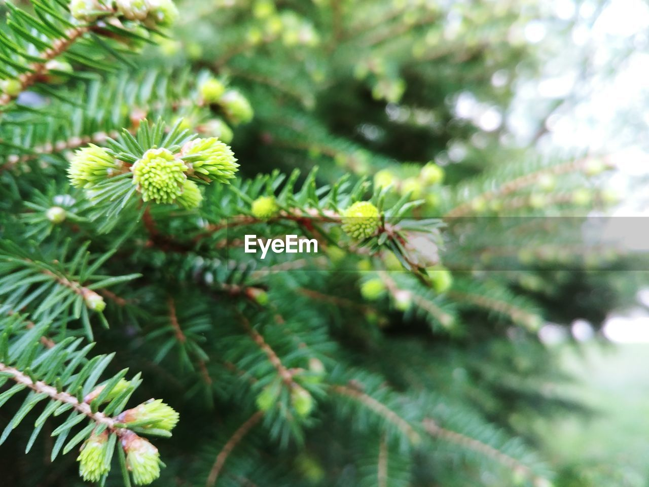 plant, growth, green color, tree, beauty in nature, day, close-up, no people, focus on foreground, nature, leaf, branch, plant part, pine tree, outdoors, tranquility, green, selective focus, freshness, coniferous tree, needle - plant part, spiky