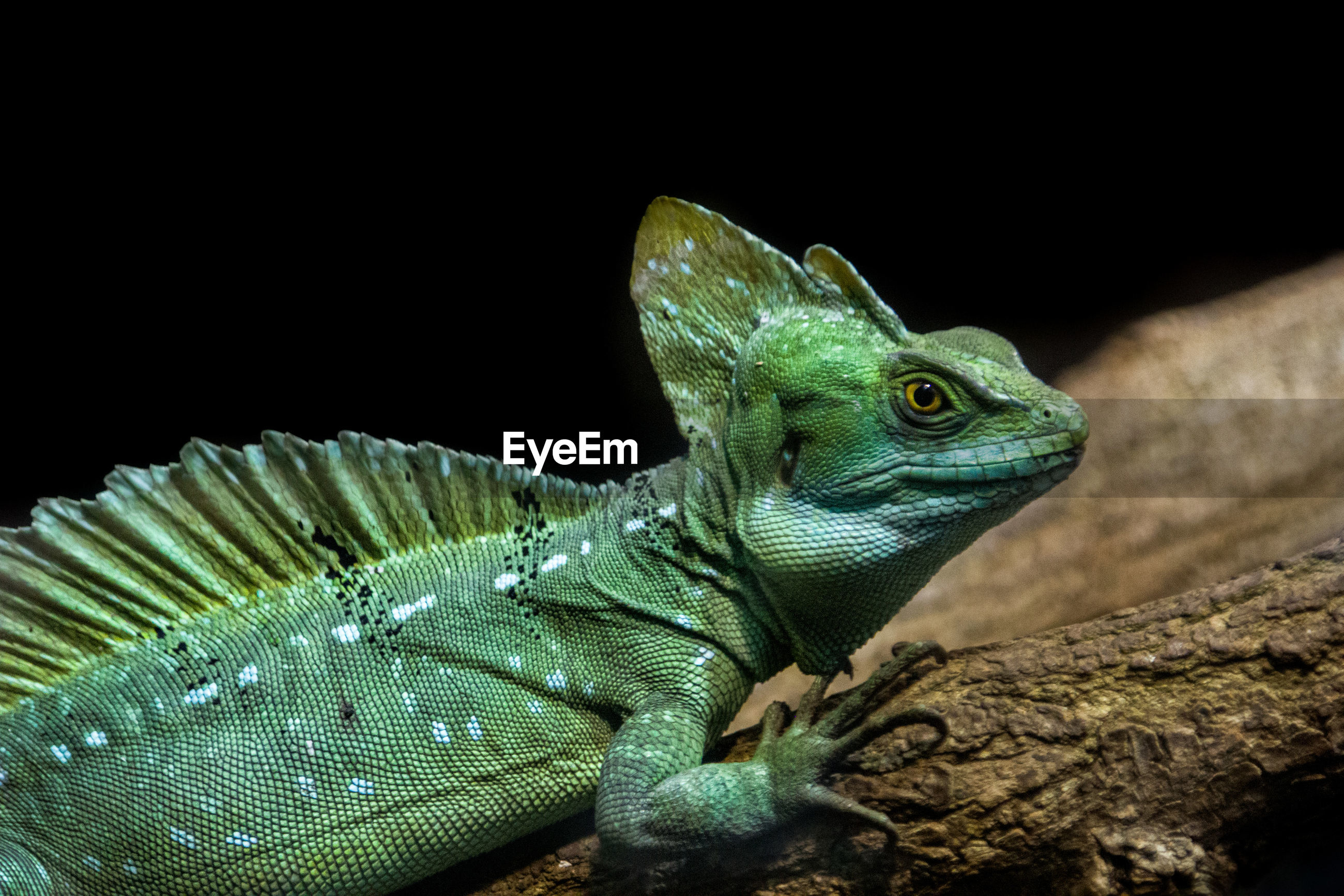 CLOSE-UP OF A LIZARD ON BLACK BACKGROUND