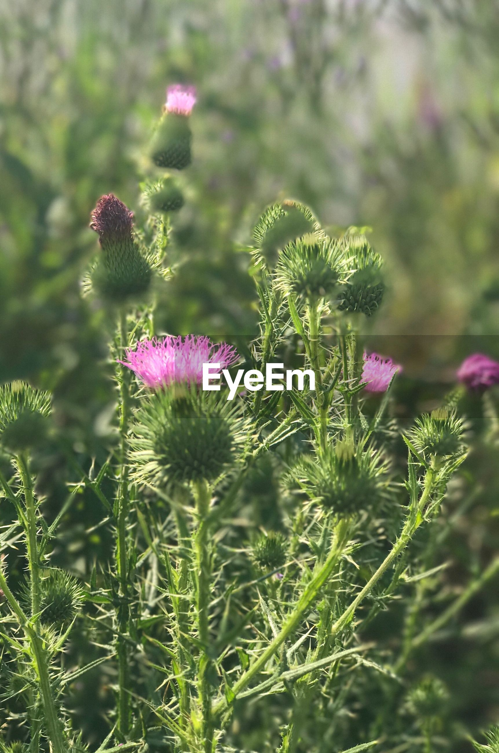 CLOSE-UP OF THISTLE FLOWER