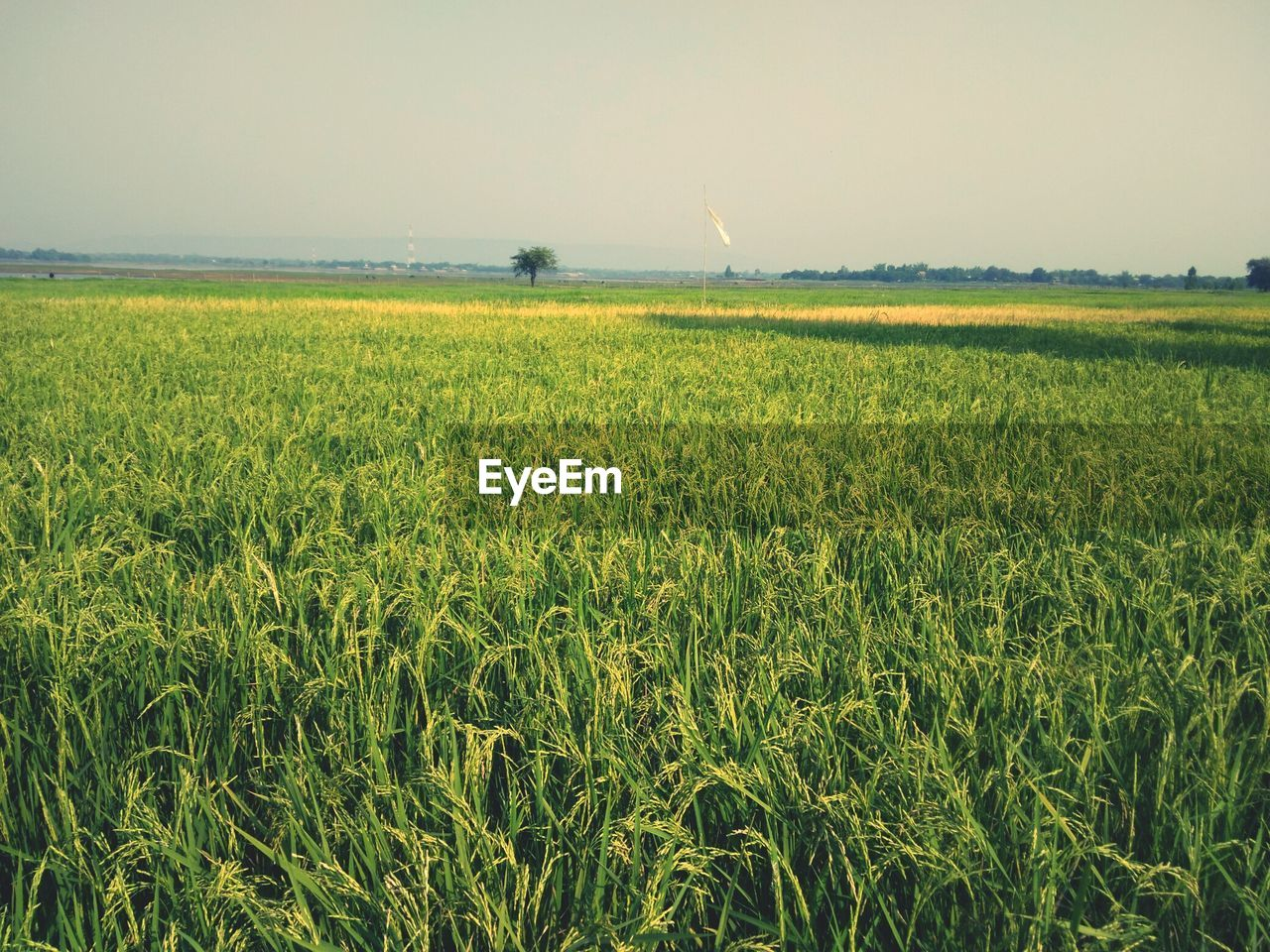 landscape, growth, field, land, beauty in nature, plant, agriculture, tranquility, tranquil scene, environment, sky, rural scene, crop, scenics - nature, farm, green color, nature, day, no people, yellow, outdoors, plantation