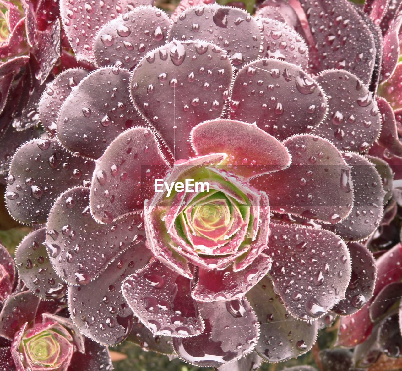 flower, rose - flower, petal, growth, drop, nature, water, fragility, no people, beauty in nature, freshness, plant, close-up, wet, pink color, flower head, raindrop, blooming, day, outdoors