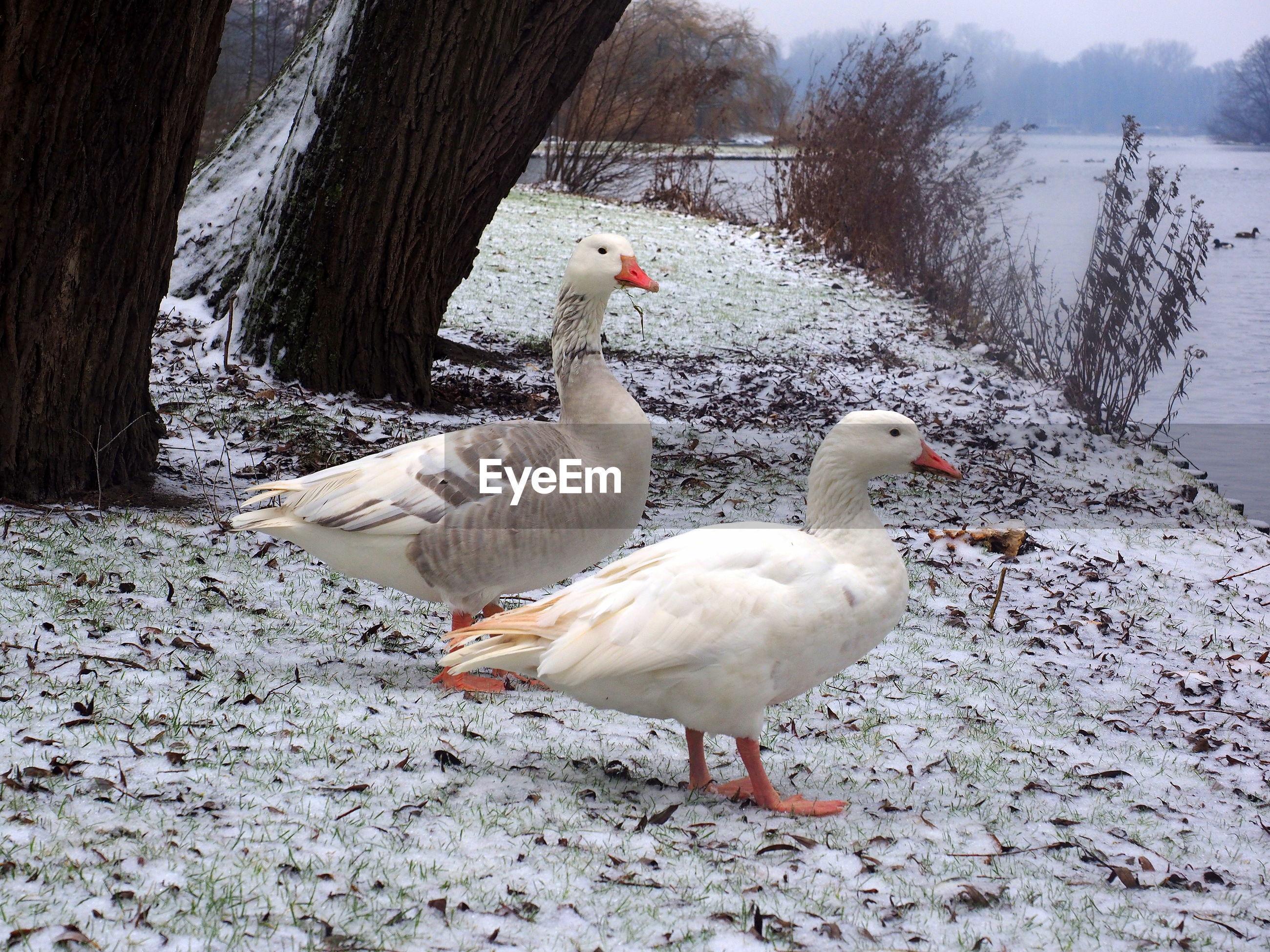 Ducks on lakeshore