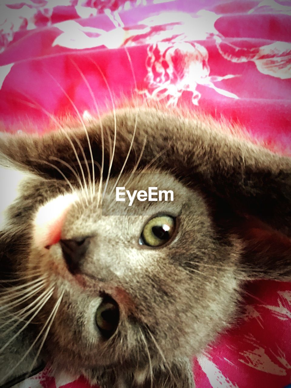 one animal, animal themes, pets, domestic animals, mammal, domestic cat, animal head, close-up, whisker, portrait, feline, no people, looking at camera, red, indoors, day