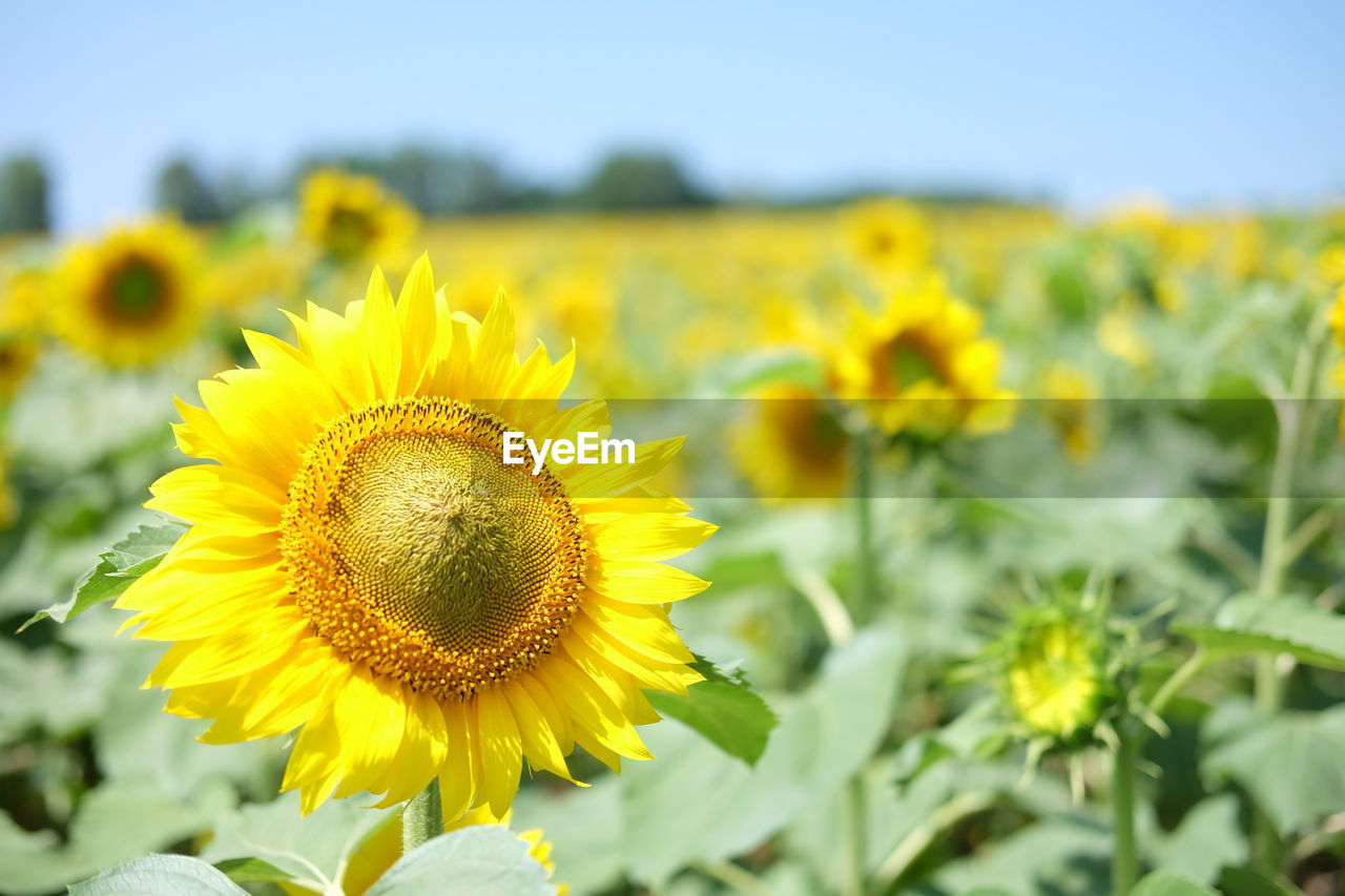 yellow, flower, flowering plant, growth, freshness, fragility, beauty in nature, plant, vulnerability, flower head, sunflower, inflorescence, nature, petal, close-up, field, focus on foreground, sky, land, no people, pollen, outdoors, sepal