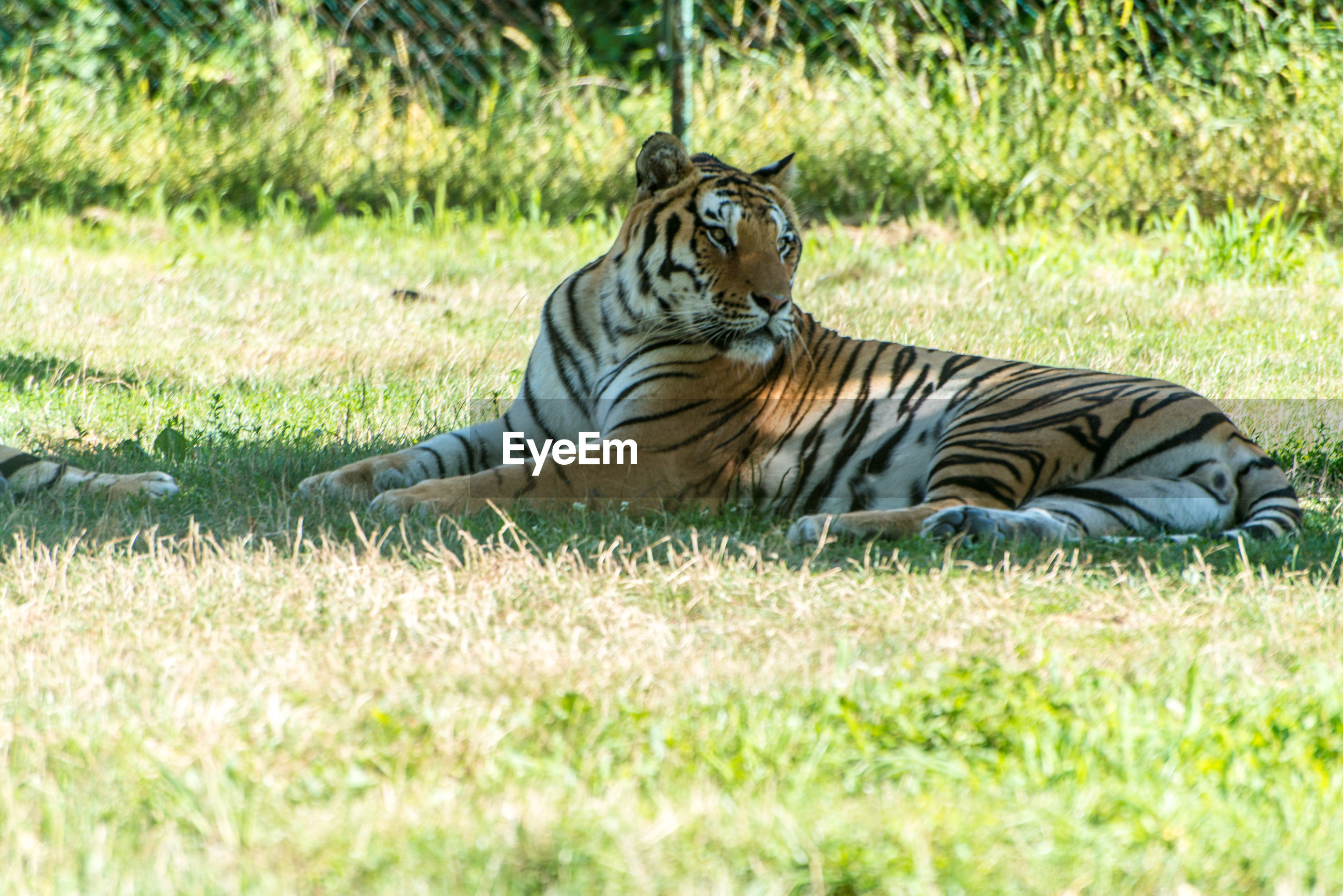 Tiger sitting on field