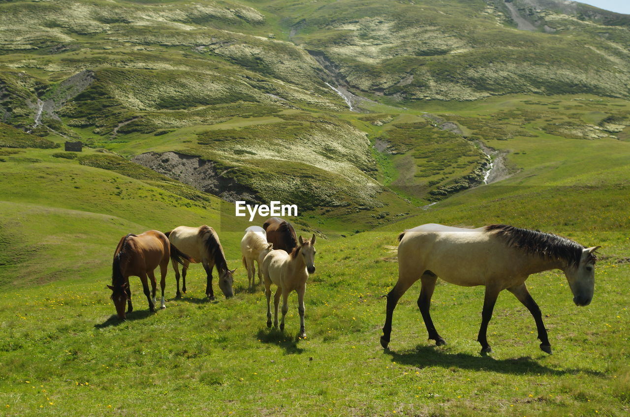 animal themes, mammal, animal, grass, livestock, group of animals, plant, domestic animals, animal wildlife, land, domestic, environment, mountain, field, grazing, vertebrate, landscape, pets, green color, horse, no people, herbivorous, outdoors