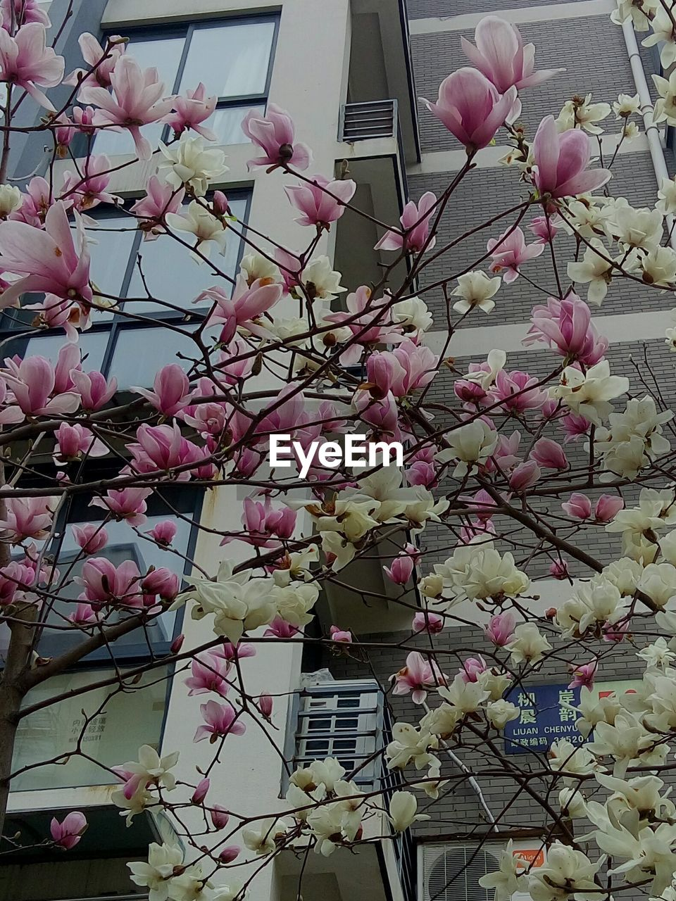 flower, growth, beauty in nature, branch, low angle view, fragility, pink color, magnolia, blossom, tree, freshness, nature, springtime, petal, no people, outdoors, day, building exterior, architecture, blooming, built structure, close-up, flower head