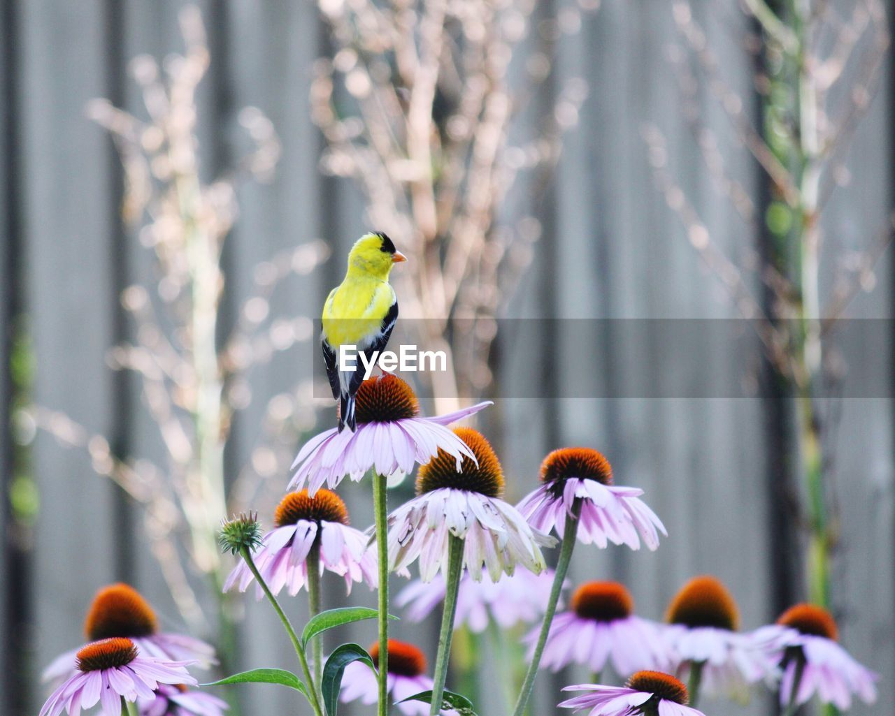 Close-Up Of Bird Perching On Purple Coneflower