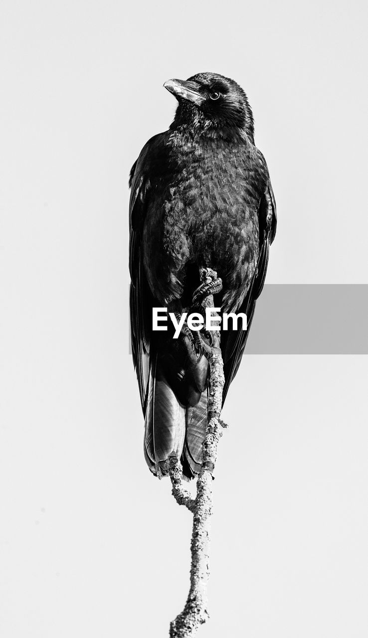 Low Angle View Of Eagle Perching Against Sky