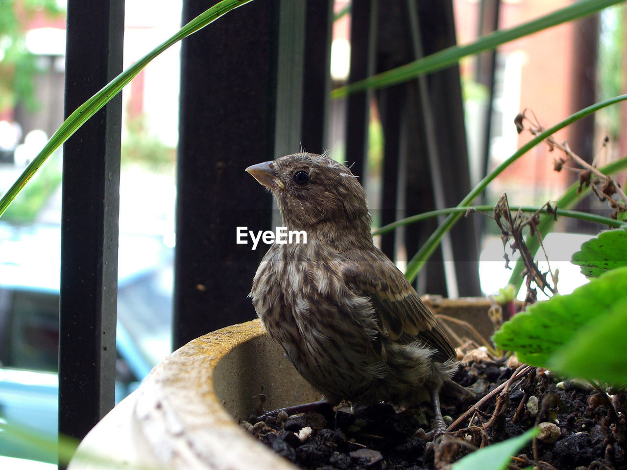 Sparrow Perching In Potted Plant