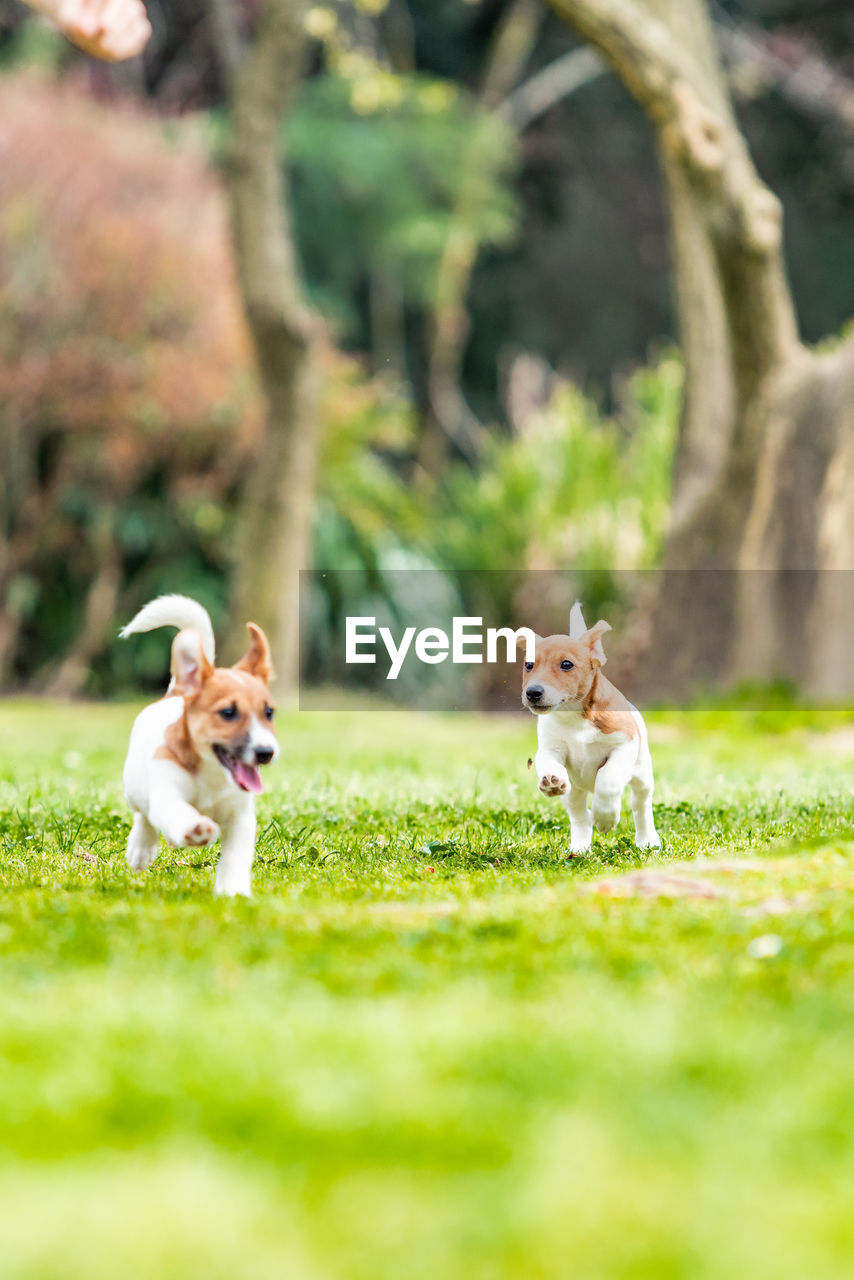 canine, dog, mammal, pets, animal themes, domestic, domestic animals, animal, plant, group of animals, two animals, grass, vertebrate, field, green color, land, selective focus, nature, day, no people, jack russell terrier, mouth open, small