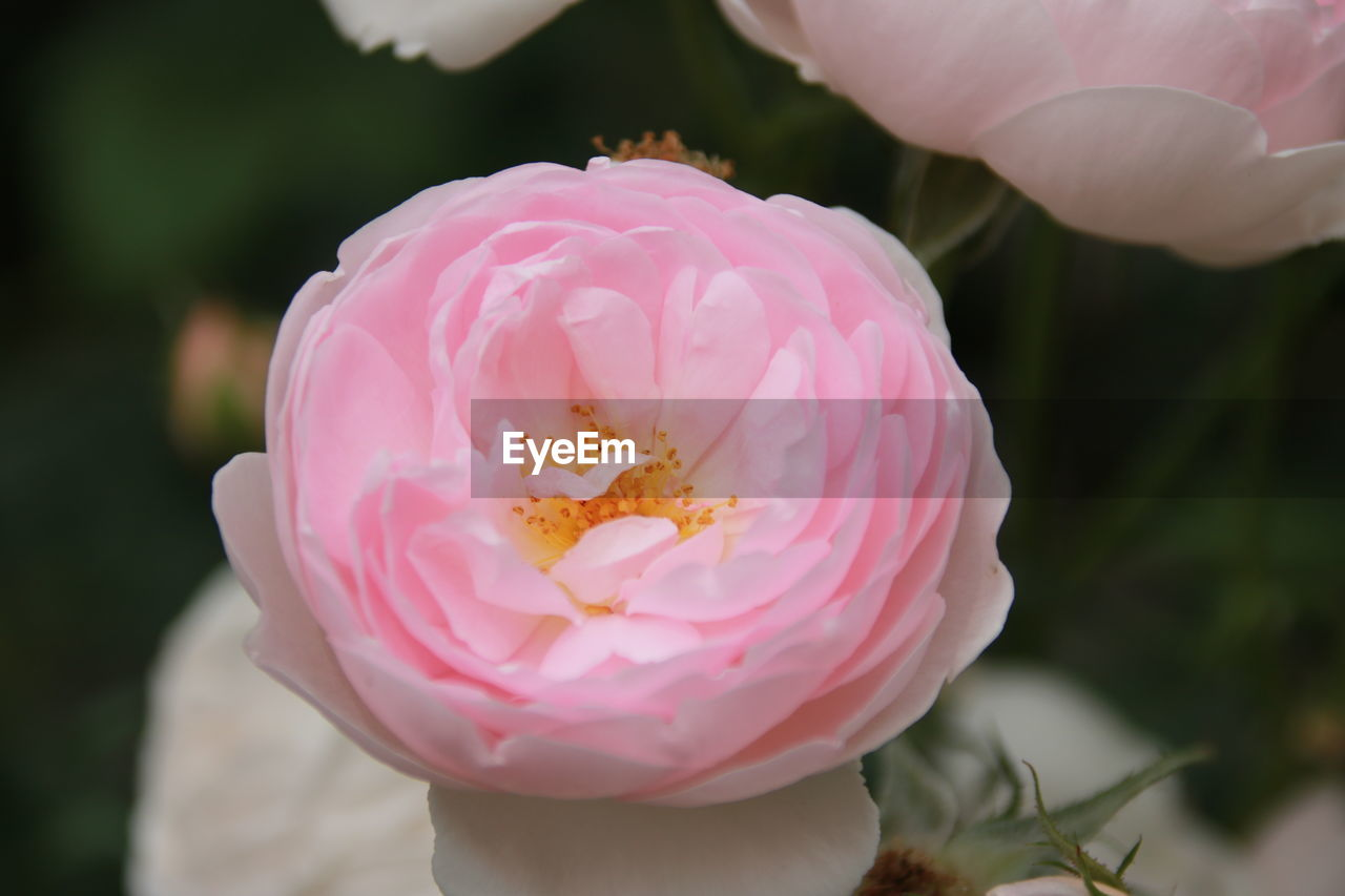 flowering plant, flower, petal, plant, pink color, freshness, beauty in nature, close-up, vulnerability, fragility, inflorescence, flower head, growth, focus on foreground, nature, pollen, day, no people, outdoors