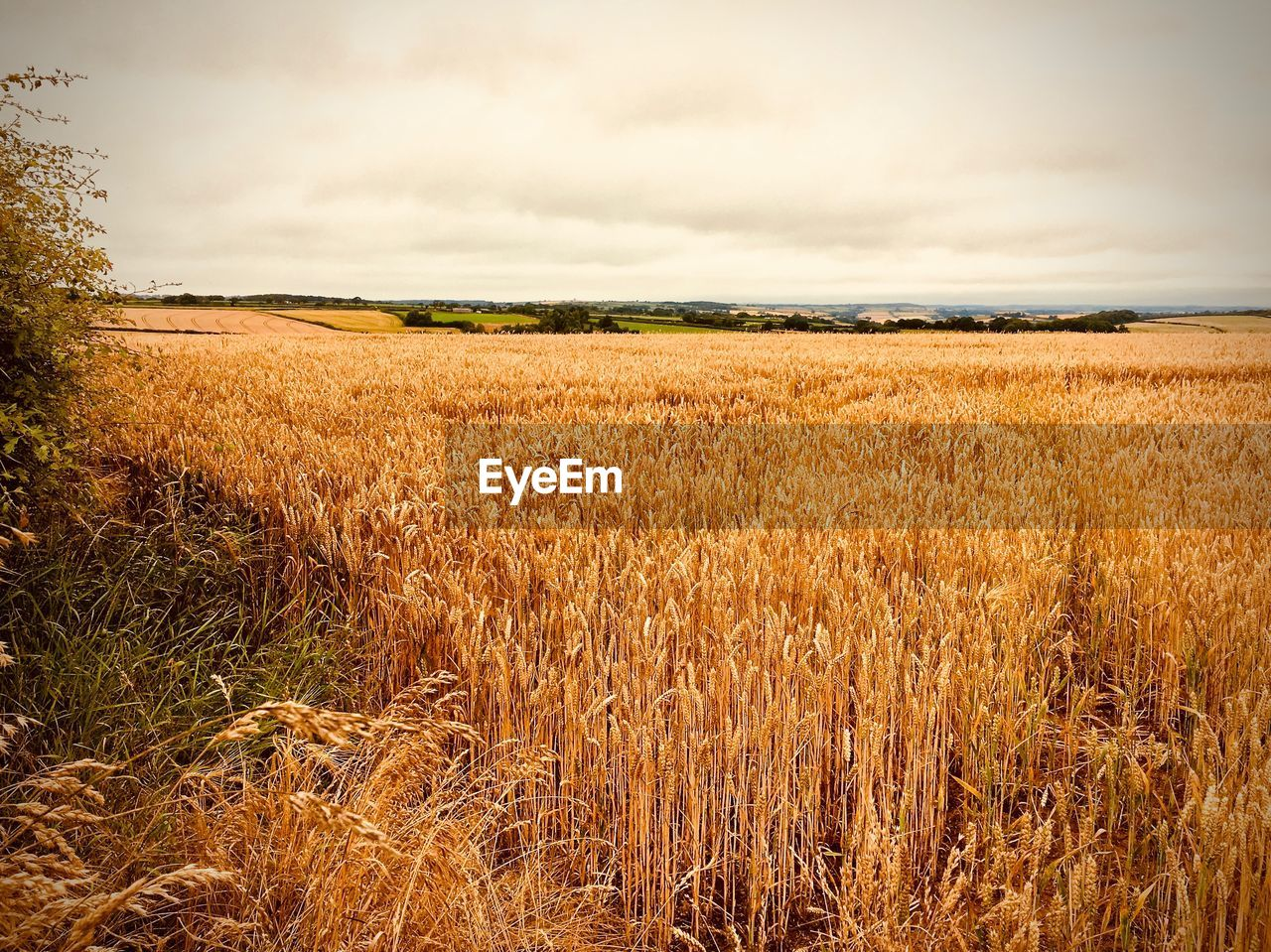 field, landscape, agriculture, nature, cereal plant, sky, growth, crop, tranquility, cloud - sky, no people, wheat, beauty in nature, rural scene, tranquil scene, outdoors, scenics, day, grass