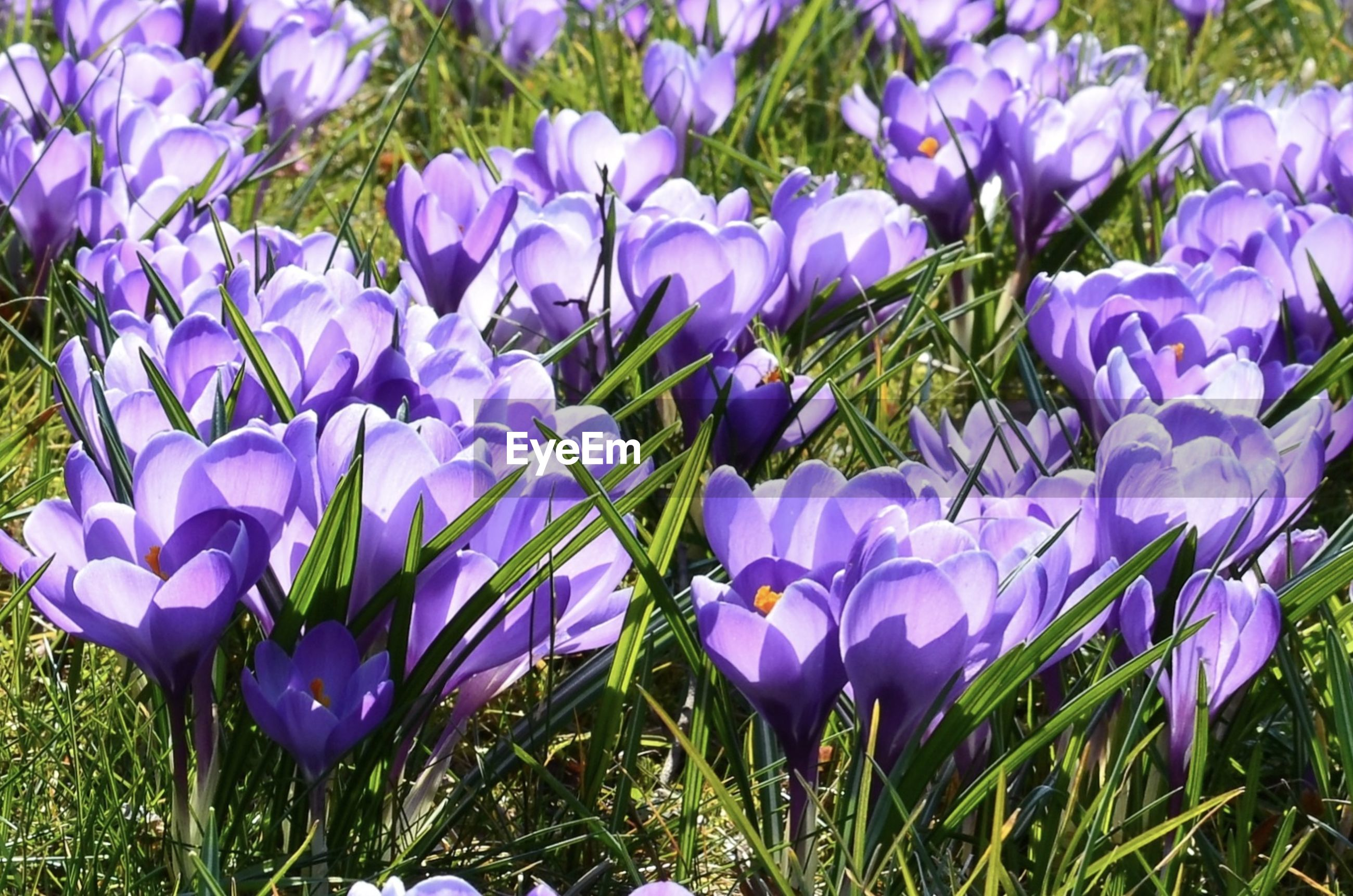 Close-up of purple flowers blooming in field