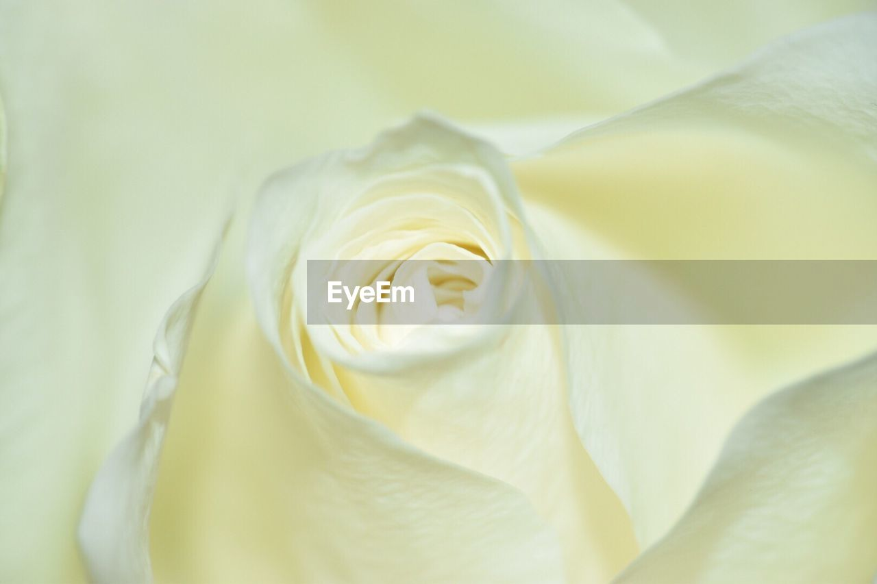 flower, petal, rose - flower, white color, fragility, flower head, freshness, beauty in nature, nature, close-up, no people, backgrounds, full frame, day