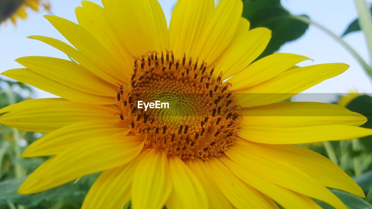 yellow, flower head, petal, inflorescence, flowering plant, fragility, flower, vulnerability, beauty in nature, growth, freshness, close-up, plant, pollen, nature, focus on foreground, day, no people, sunflower, gazania