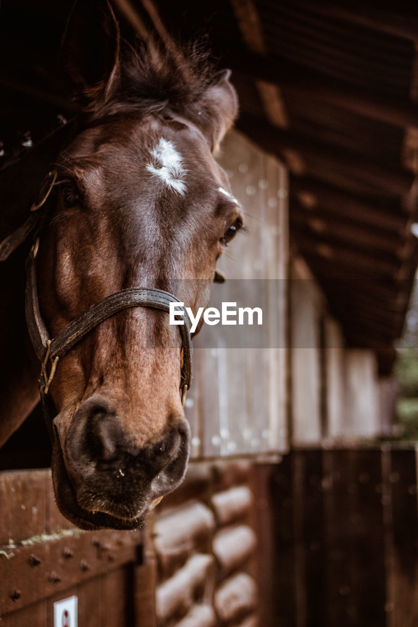livestock, domestic animals, mammal, domestic, animal, horse, animal themes, pets, one animal, focus on foreground, animal wildlife, vertebrate, animal body part, no people, animal head, close-up, brown, portrait, working animal, day, stable, herbivorous, animal pen, ranch, animal mouth