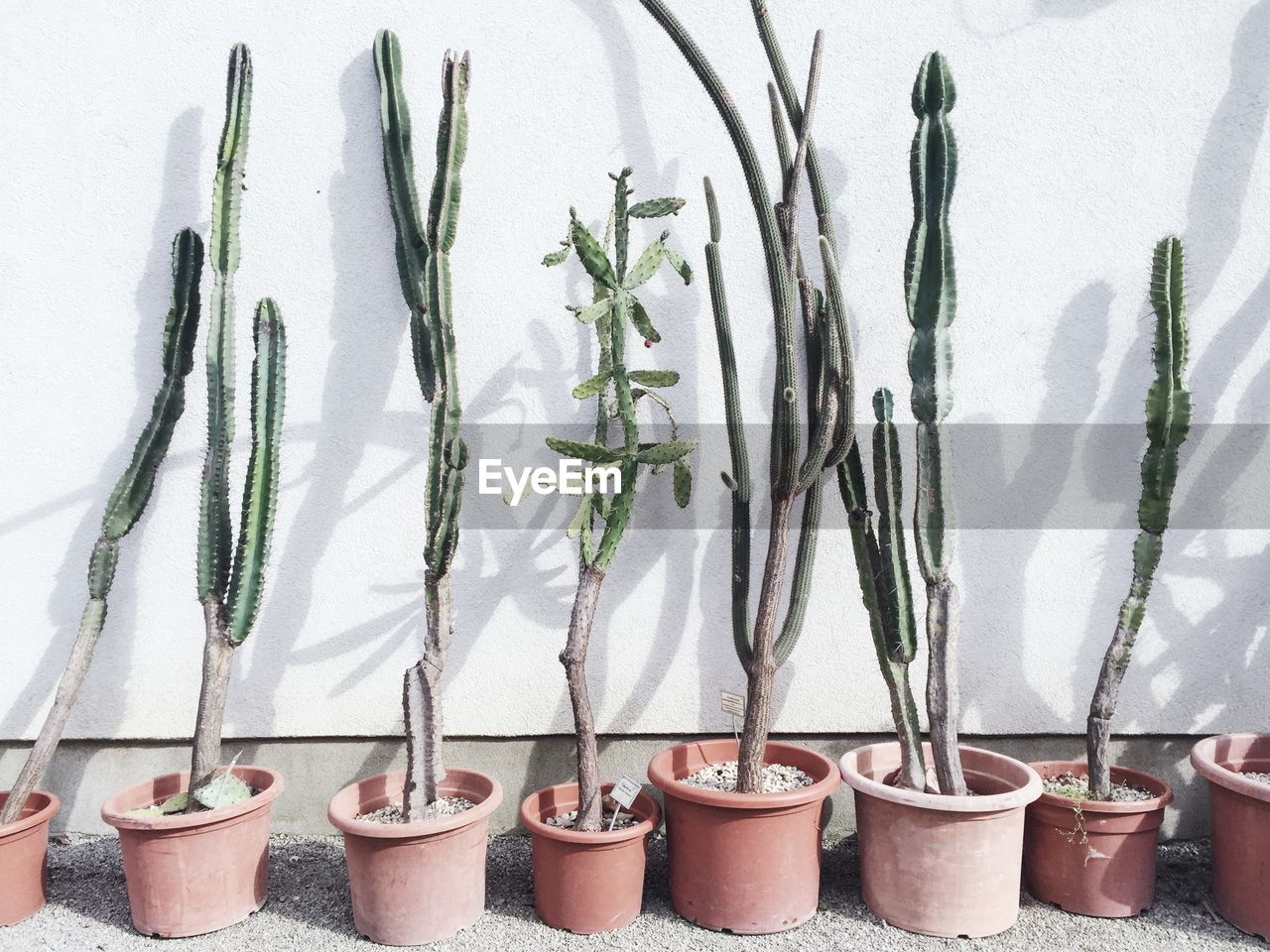 Sunlight Falling On Potted Cacti Arranged By White Wall