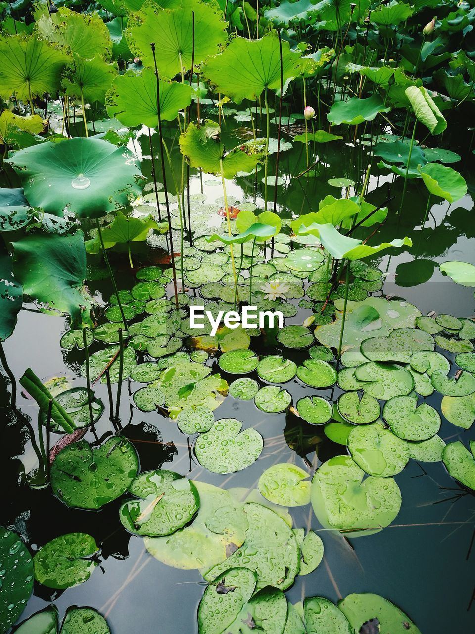 leaf, green color, lily pad, water lily, growth, pond, floating on water, water, nature, plant, beauty in nature, lotus water lily, water plant, no people, day, reflection, lotus, tranquility, outdoors, high angle view, freshness, fragility, close-up