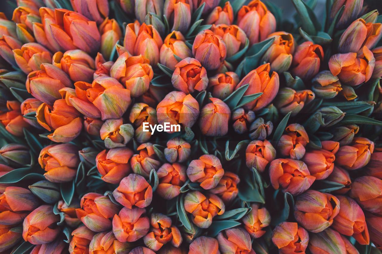 Full frame shot of tulips