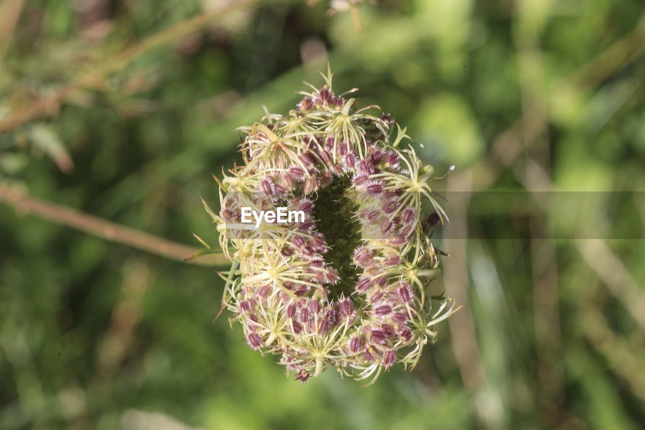 nature, flower, beauty in nature, growth, day, plant, focus on foreground, outdoors, no people, fragility, close-up, freshness, flower head, thistle
