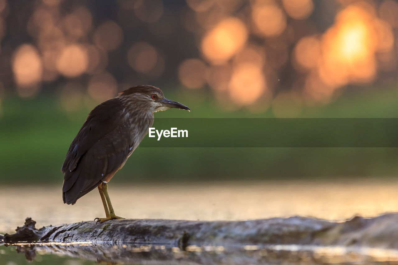 one animal, animals in the wild, bird, animal themes, animal wildlife, animal, vertebrate, focus on foreground, perching, no people, day, nature, close-up, full length, wood - material, outdoors, selective focus, sunlight, side view, looking