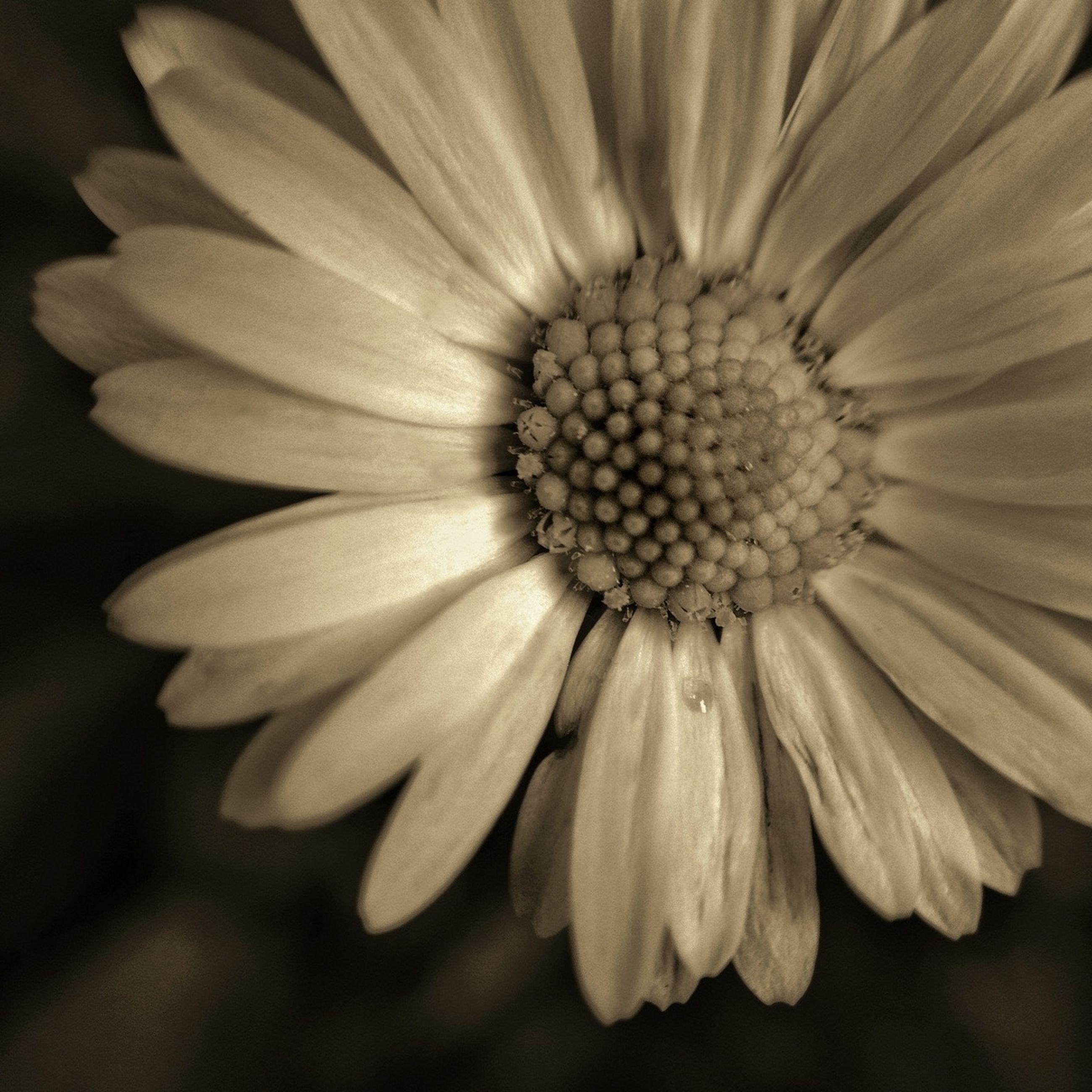Close up of daisy