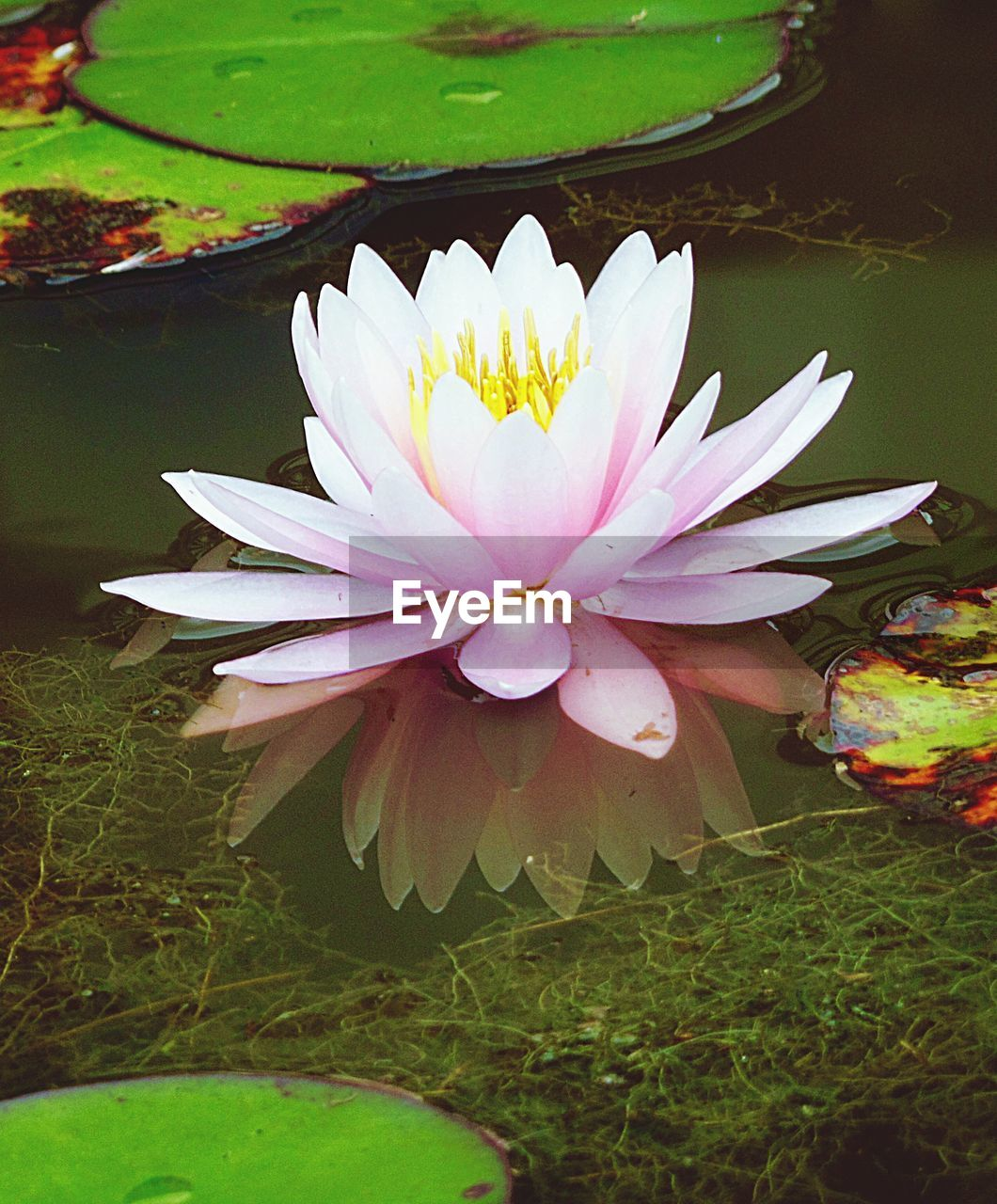 flower, petal, flower head, beauty in nature, freshness, nature, fragility, pond, water lily, growth, leaf, lotus water lily, no people, lotus, lily pad, close-up, plant, pollen, day, blooming, floating on water, water, outdoors