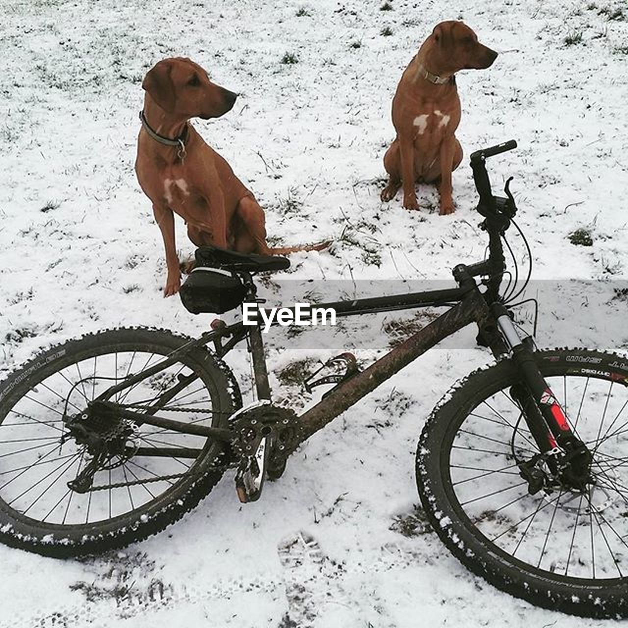 snow, cold temperature, winter, dog, bicycle, weather, domestic animals, animal themes, mammal, transportation, outdoors, pets, no people, day, nature
