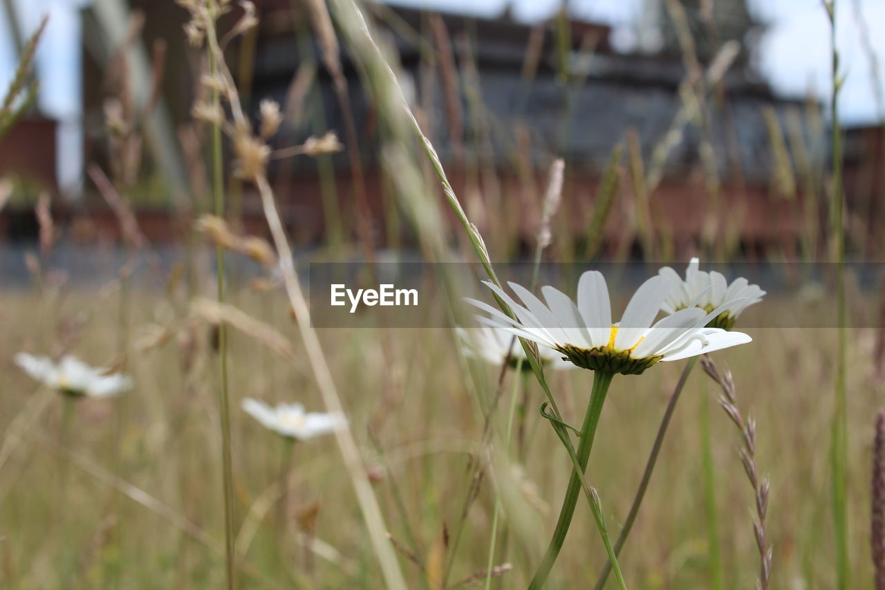flower, flowering plant, plant, freshness, fragility, beauty in nature, vulnerability, growth, white color, petal, close-up, flower head, nature, focus on foreground, inflorescence, land, day, field, no people, botany, pollen, blade of grass