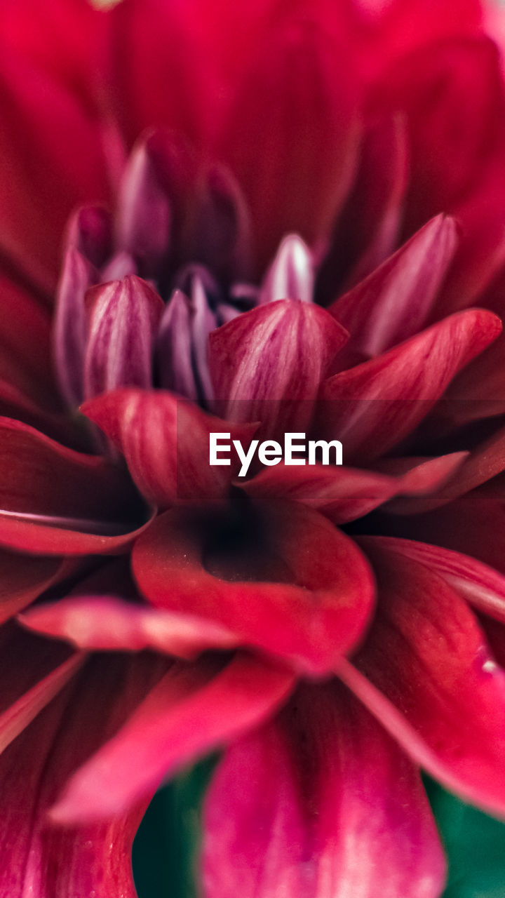 flowering plant, flower, petal, vulnerability, fragility, beauty in nature, plant, close-up, inflorescence, flower head, red, freshness, growth, no people, full frame, nature, backgrounds, pink color, dahlia, selective focus, springtime