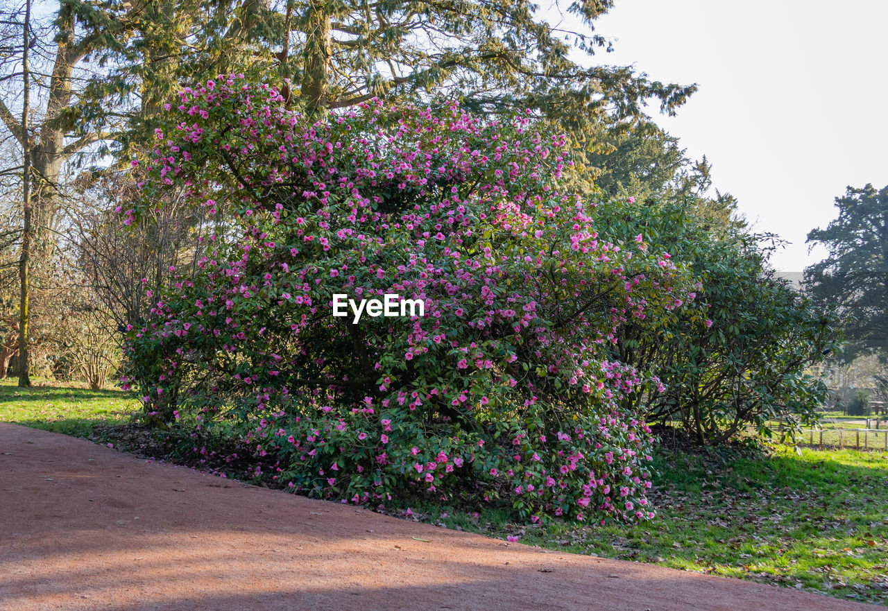 plant, tree, growth, beauty in nature, flowering plant, flower, nature, no people, tranquility, day, pink color, park, freshness, road, park - man made space, tranquil scene, outdoors, green color, grass, fragility, purple