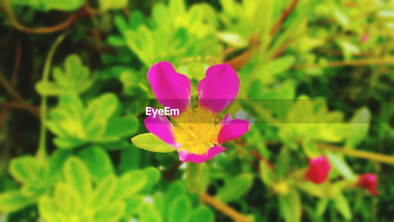 flower, nature, petal, beauty in nature, fragility, growth, plant, pink color, freshness, flower head, green color, focus on foreground, purple, leaf, blooming, day, no people, outdoors, close-up
