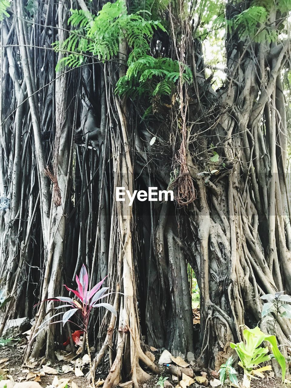 tree, tree trunk, growth, root, branch, nature, outdoors, day, no people, beauty in nature, palm tree, close-up