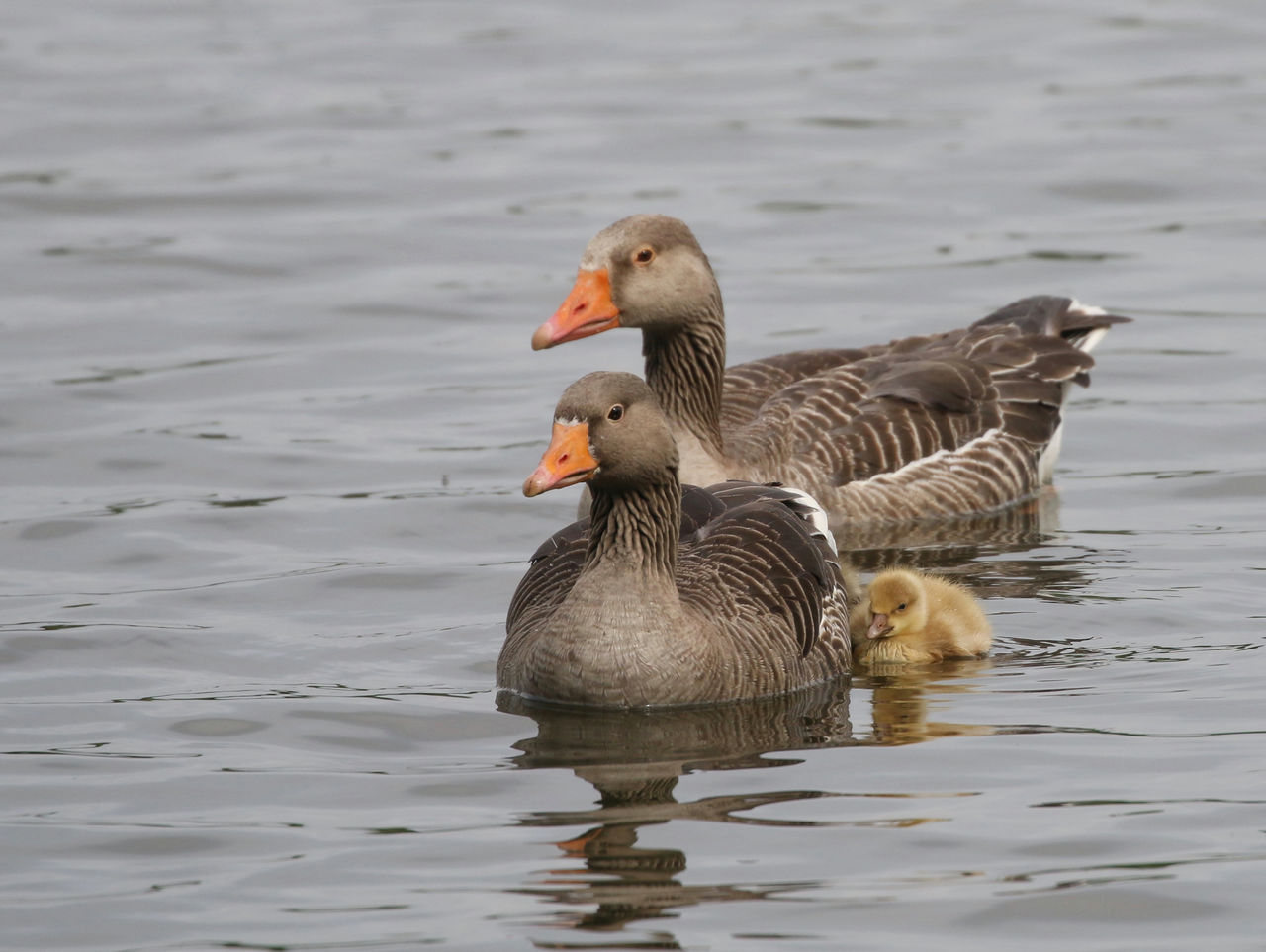 bird, animal wildlife, animal themes, animals in the wild, animal, vertebrate, swimming, group of animals, water, waterfront, lake, no people, greylag goose, water bird, nature, day, two animals, goose, beauty in nature, animal family, gosling