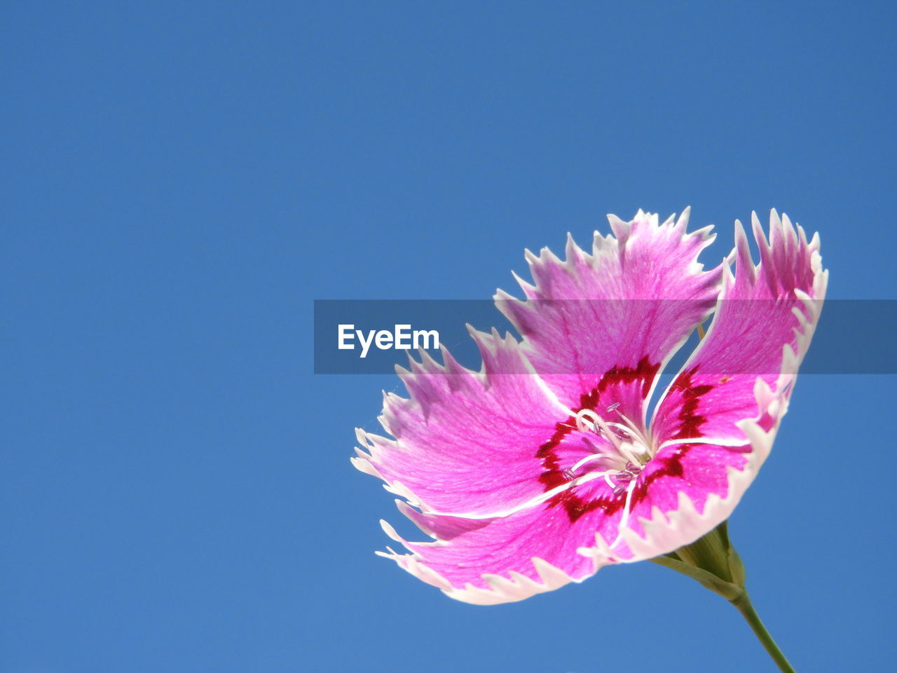 flower, pink color, flowering plant, vulnerability, fragility, petal, freshness, beauty in nature, plant, blue, copy space, nature, flower head, inflorescence, clear sky, close-up, sky, no people, growth, outdoors, blue background, sepal